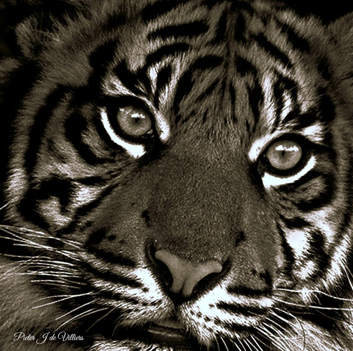 Tiger by Pieter J de Villiers