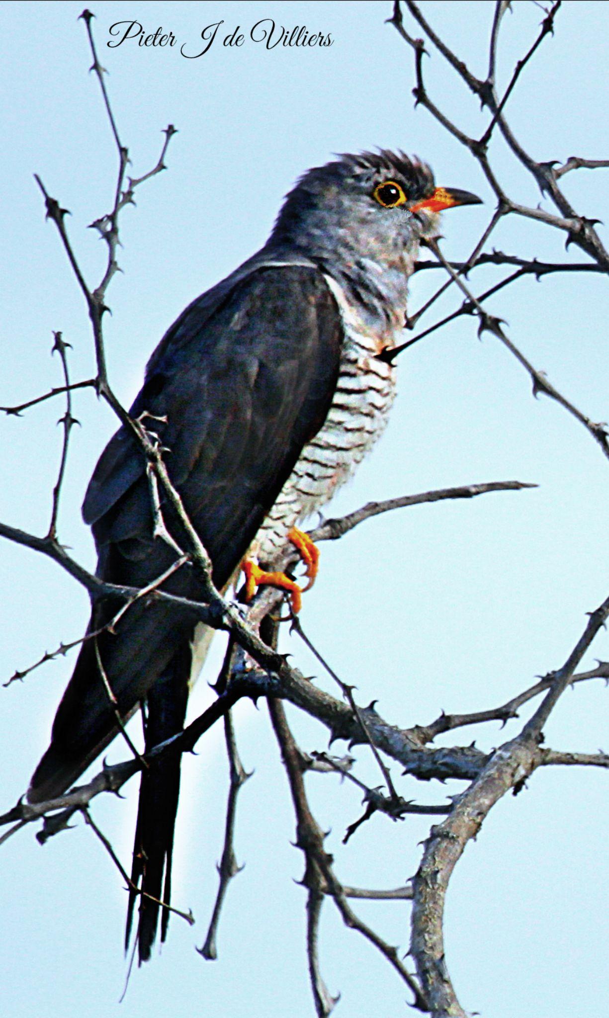 African Cuckoo by Pieter J de Villiers