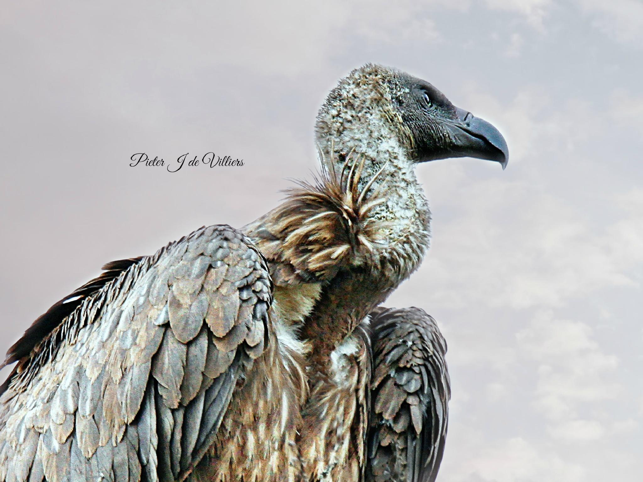 Vulture by Pieter J de Villiers