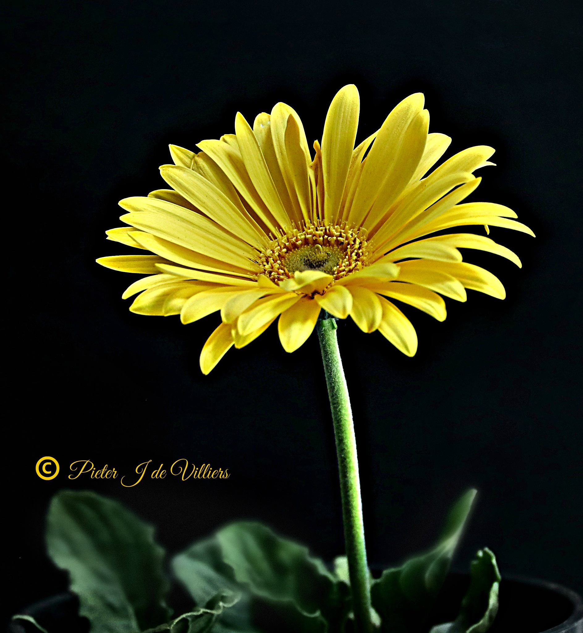 Yellow Gerbera Flower by Pieter J de Villiers