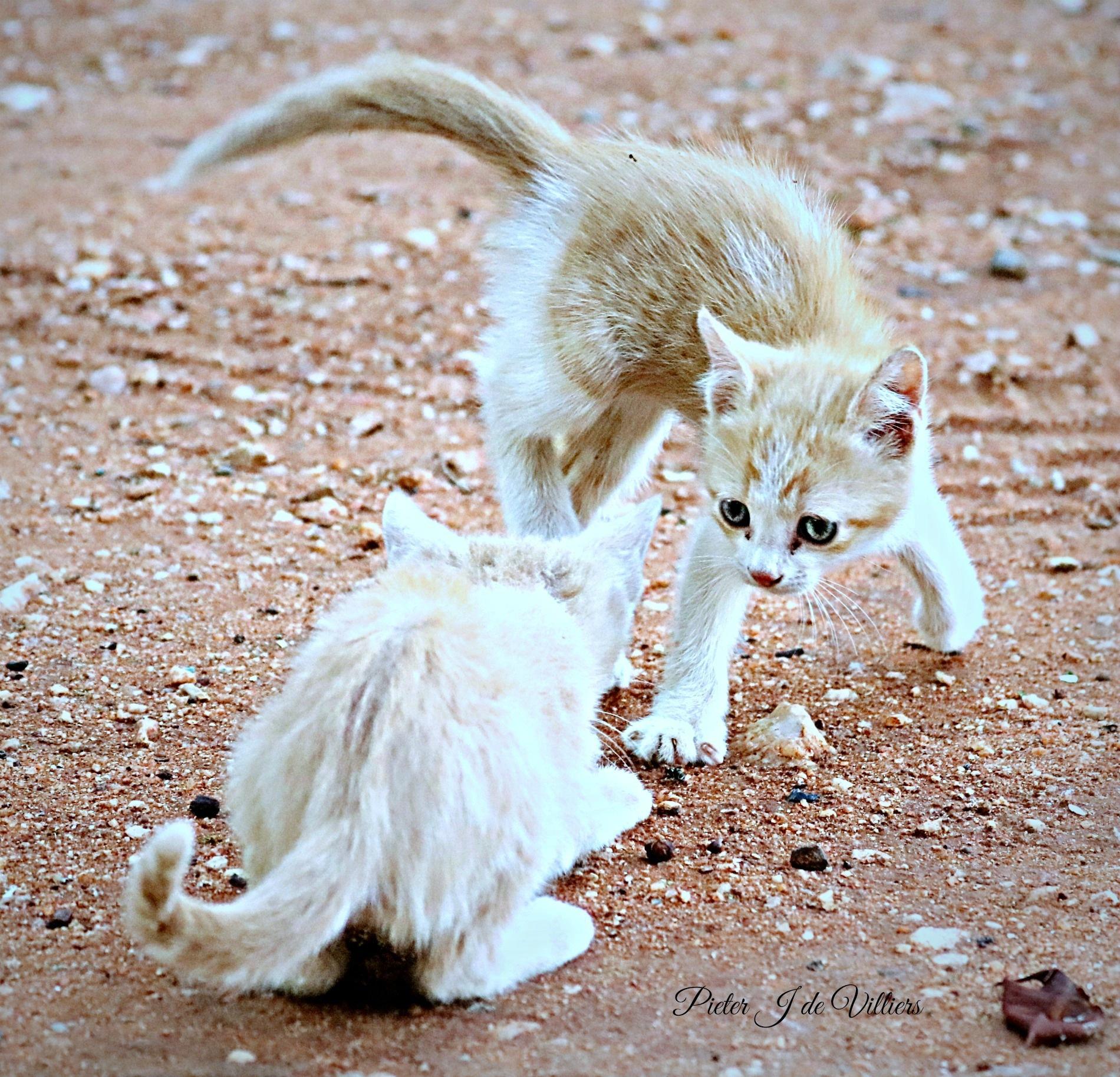 Kittens playing by Pieter J de Villiers