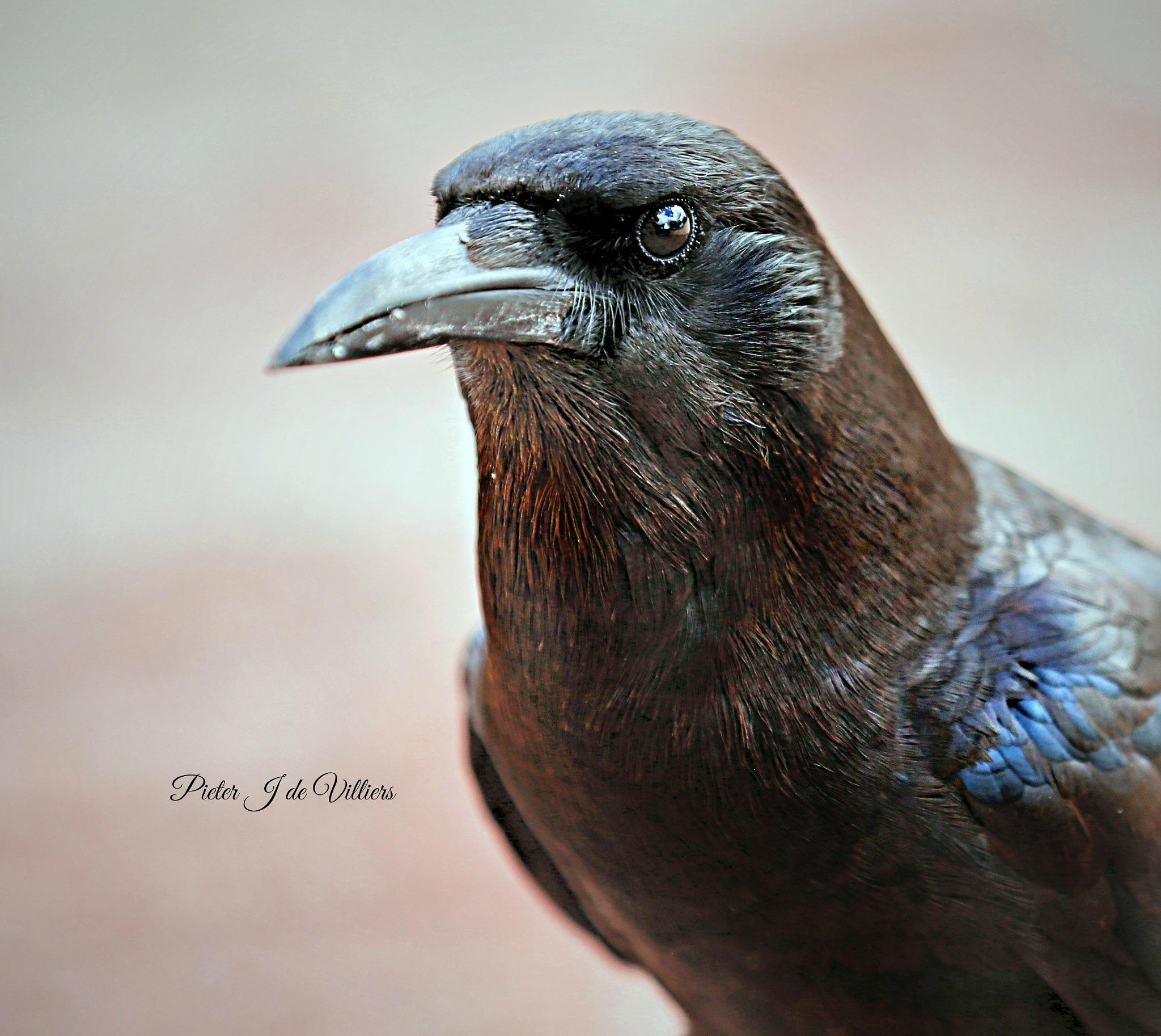 Crow Portrait by Pieter J de Villiers
