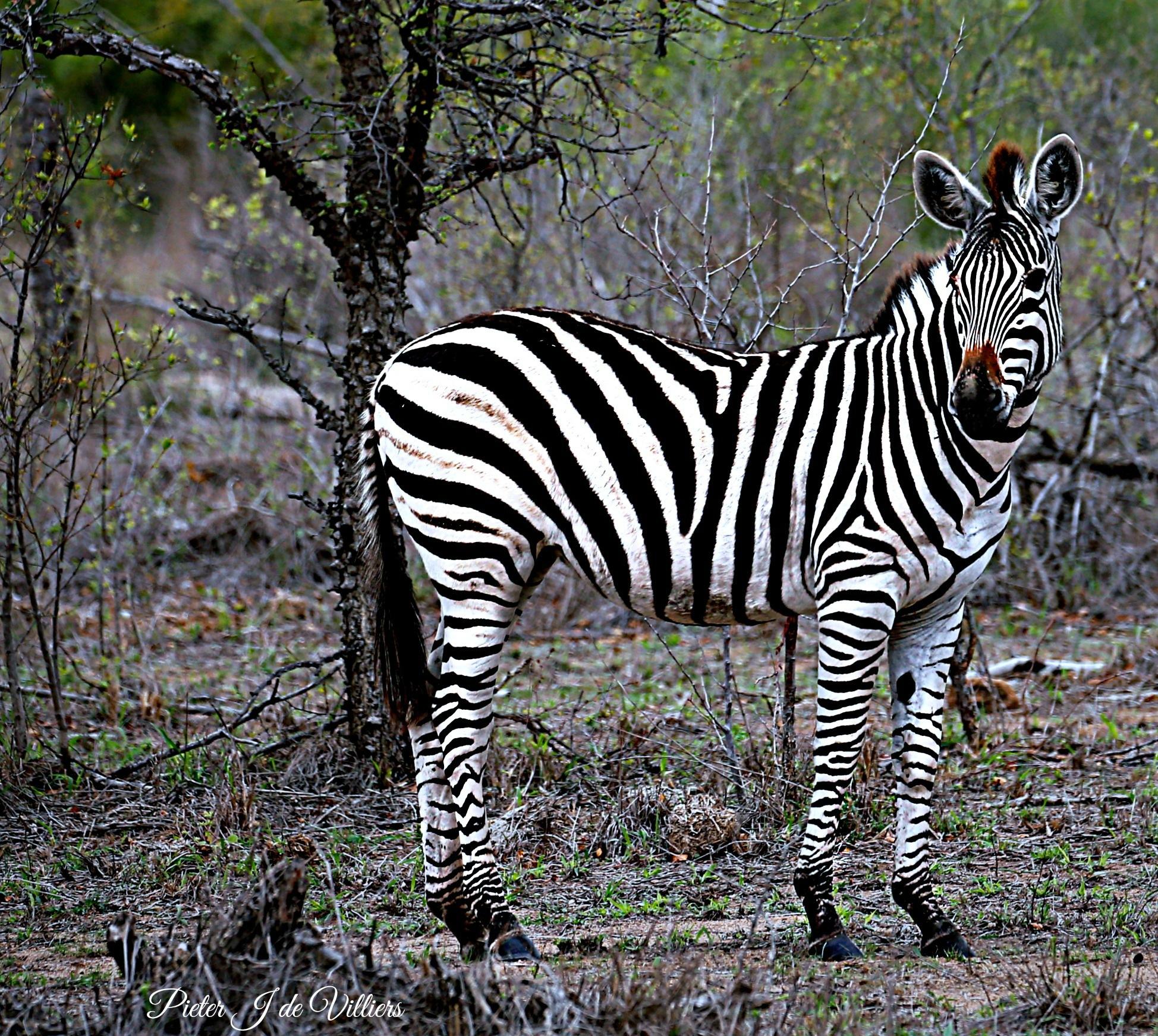 Zebra filly by Pieter J de Villiers