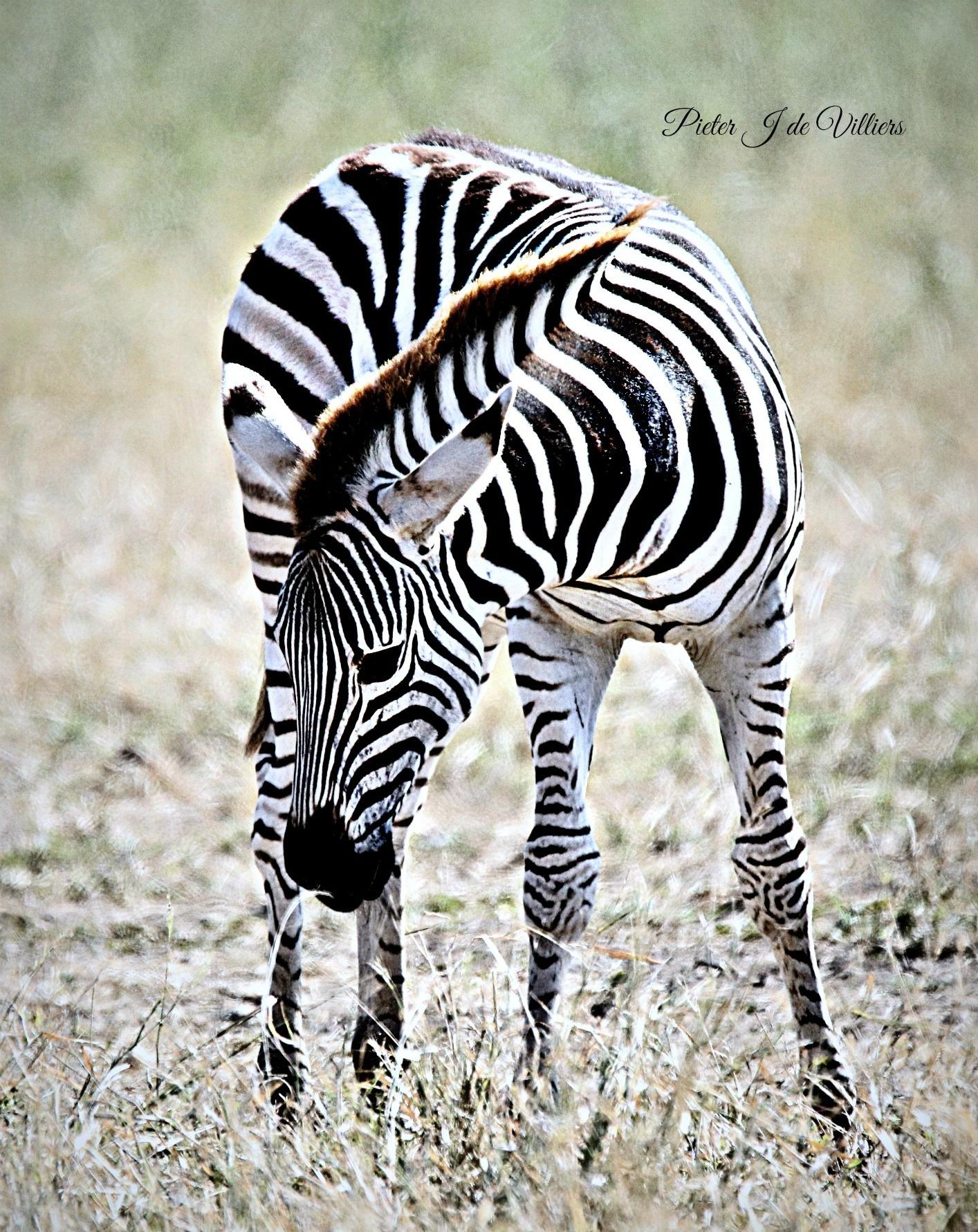 Young Zebra by Pieter J de Villiers