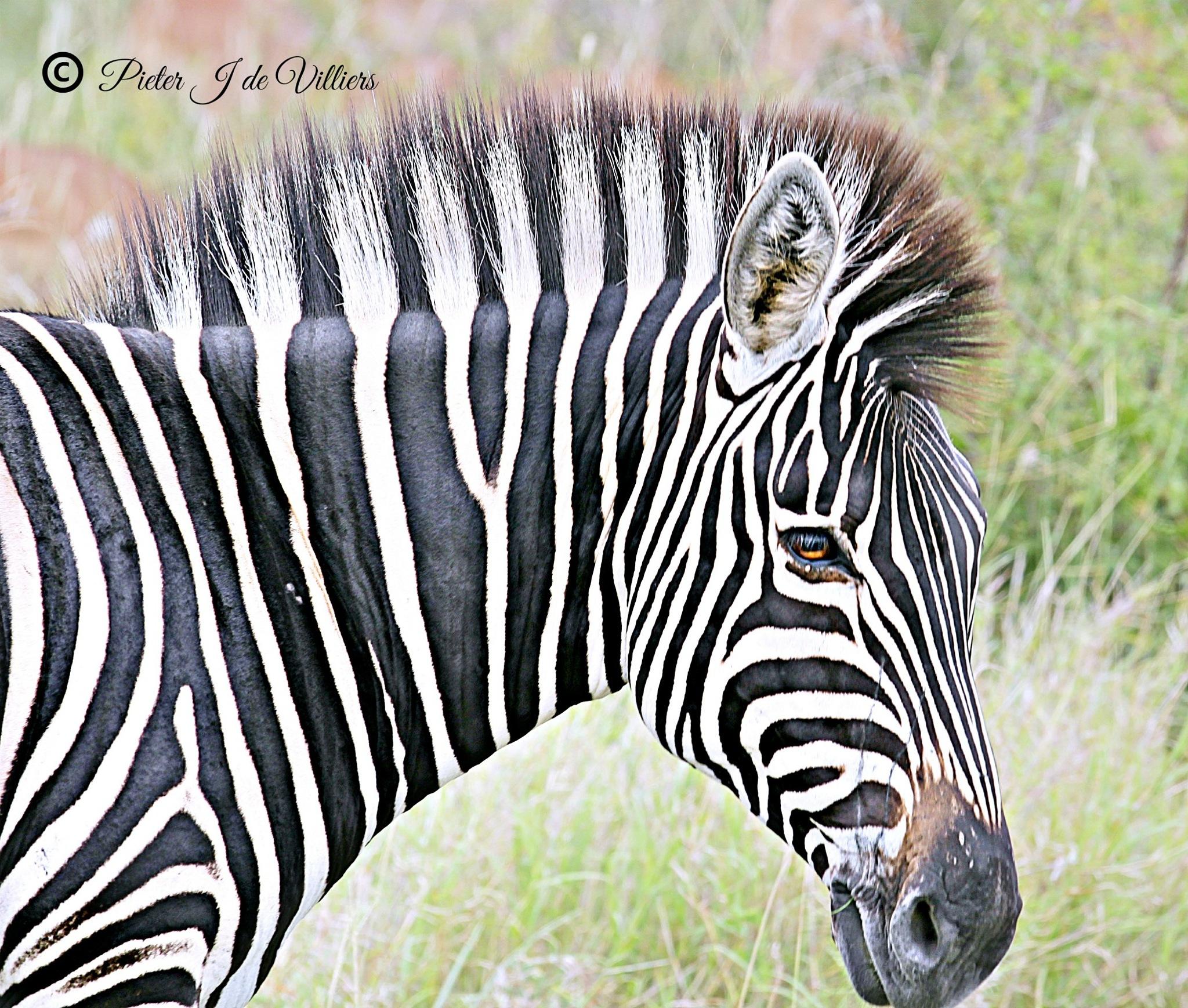 Photo in Random #animals #mammals #zebra #wildlife #close-up #kruger national park #south africa #canon
