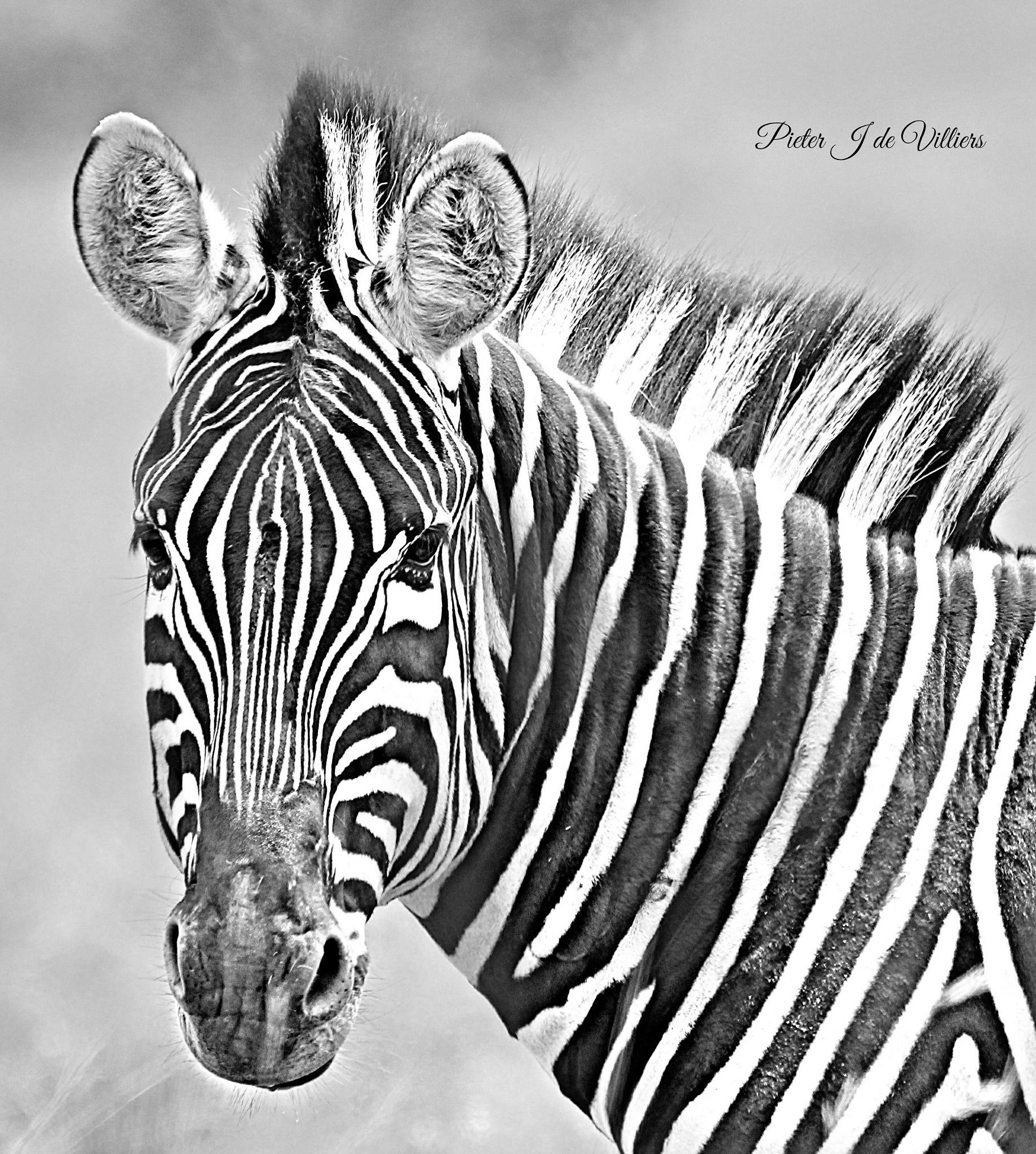 Zebra Portrait by Pieter J de Villiers