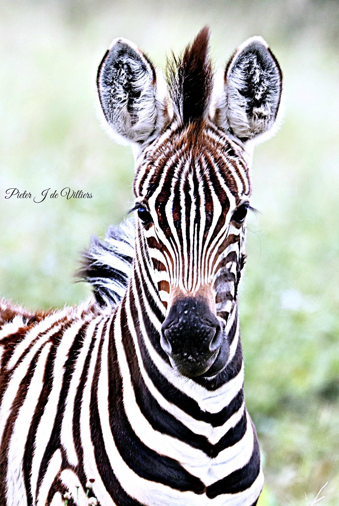 Baby Zebra Portrait by Pieter J de Villiers