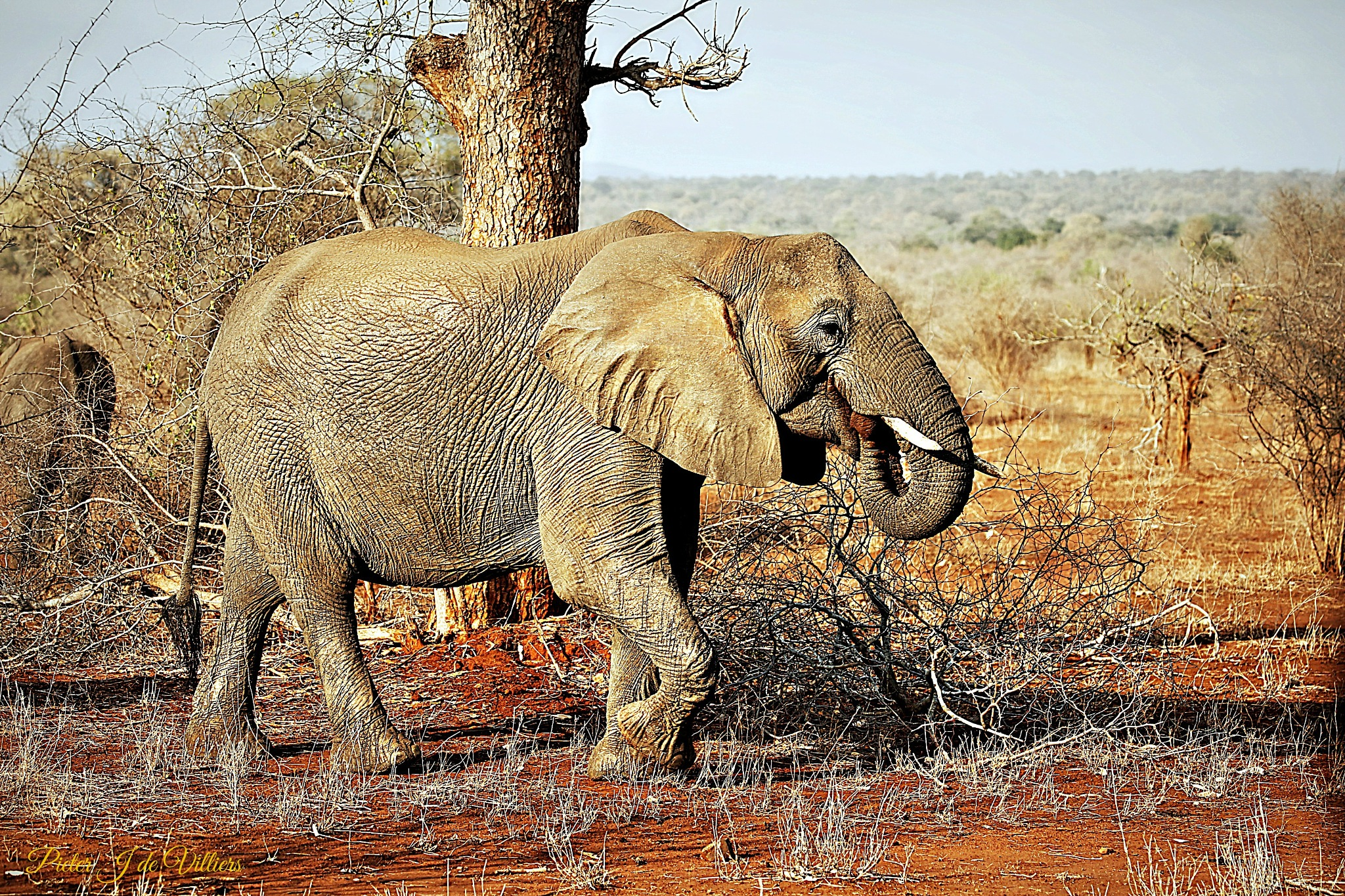 Young Elephant by Pieter J de Villiers
