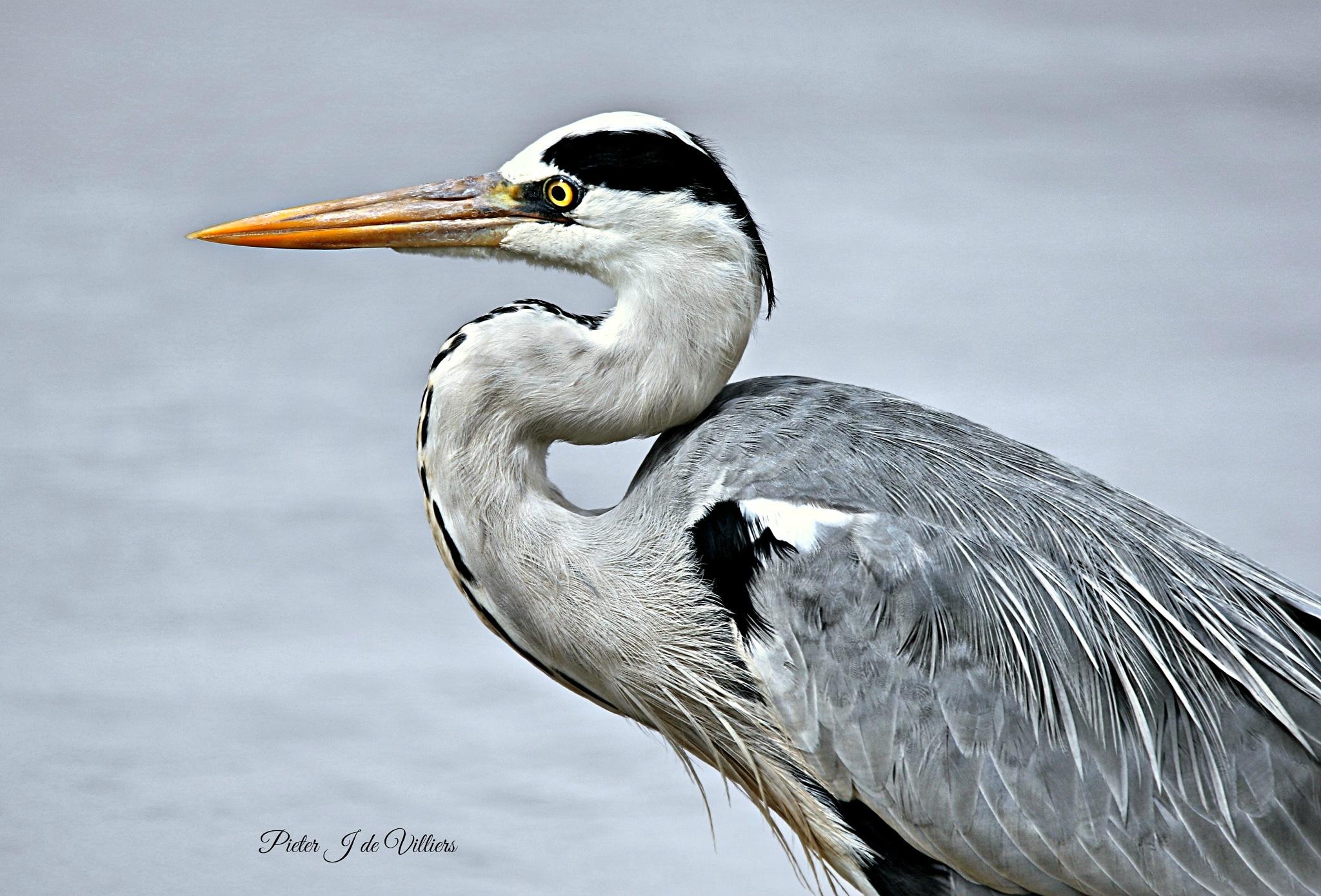 Grey Heron Close-up by Pieter J de Villiers