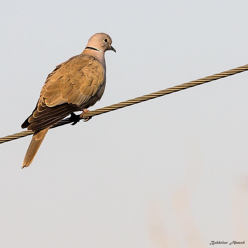 Eurasian Collared Dove by Bakhtiar Ahmed