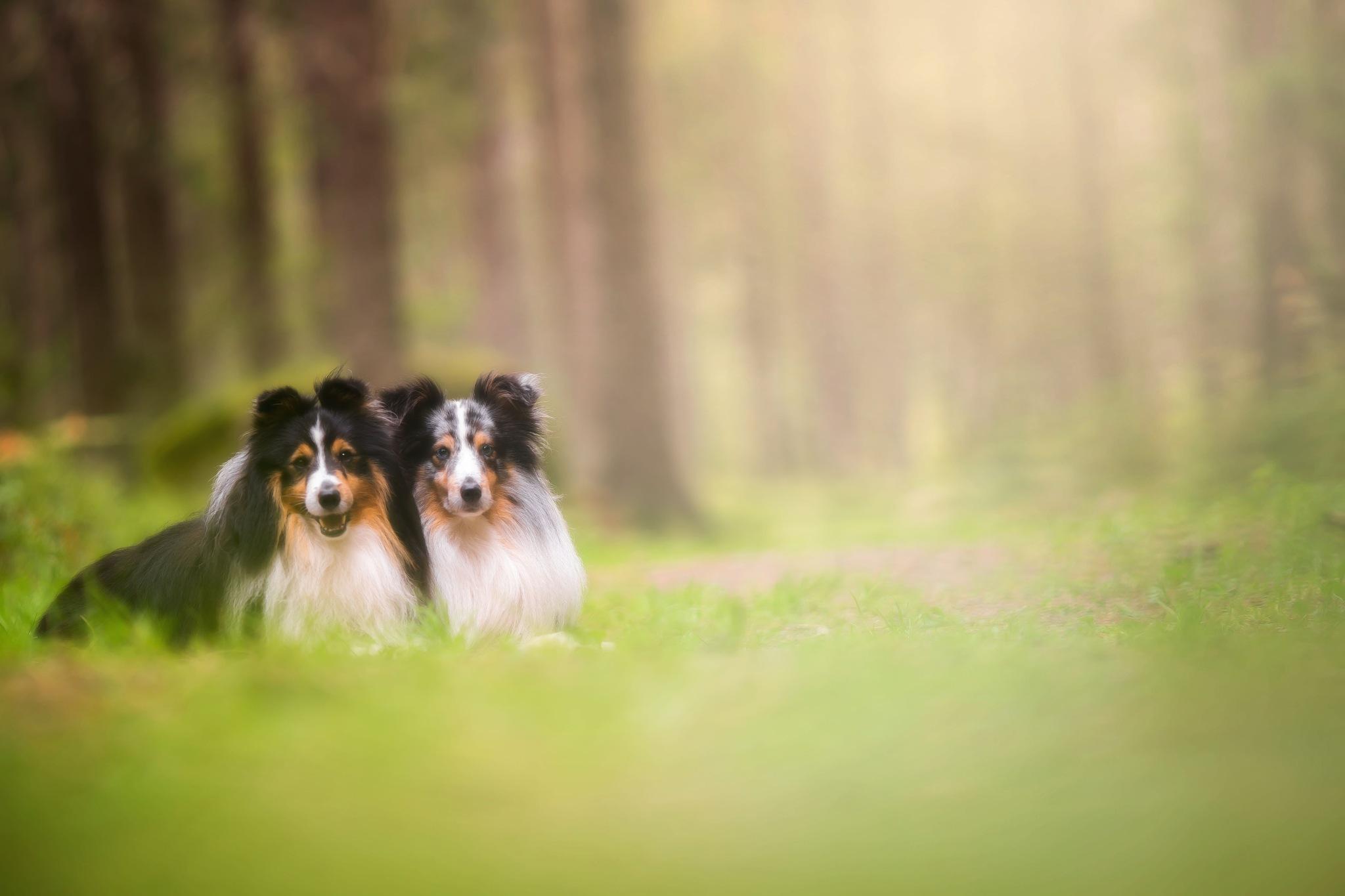 Photo in Animal #sheltie #shetland sheepdog #dog #dogs #forest #nature #portrait #bokeh