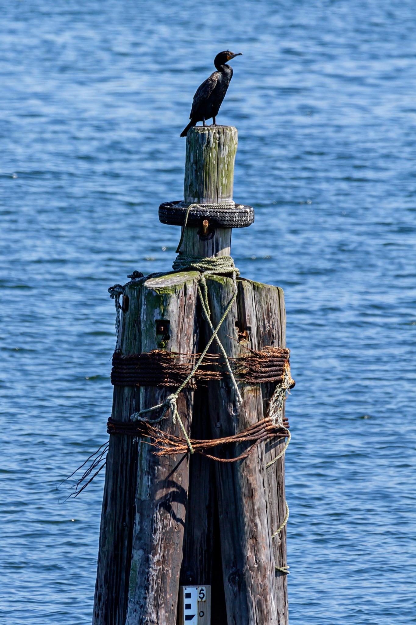 Cormorant keeping watch by PamelaTurcotte