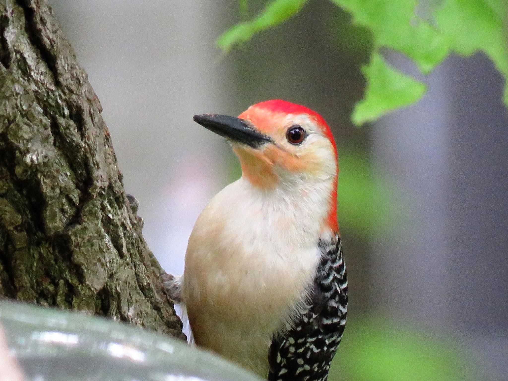 Backyard red-bellied woodpecker by Marygallo
