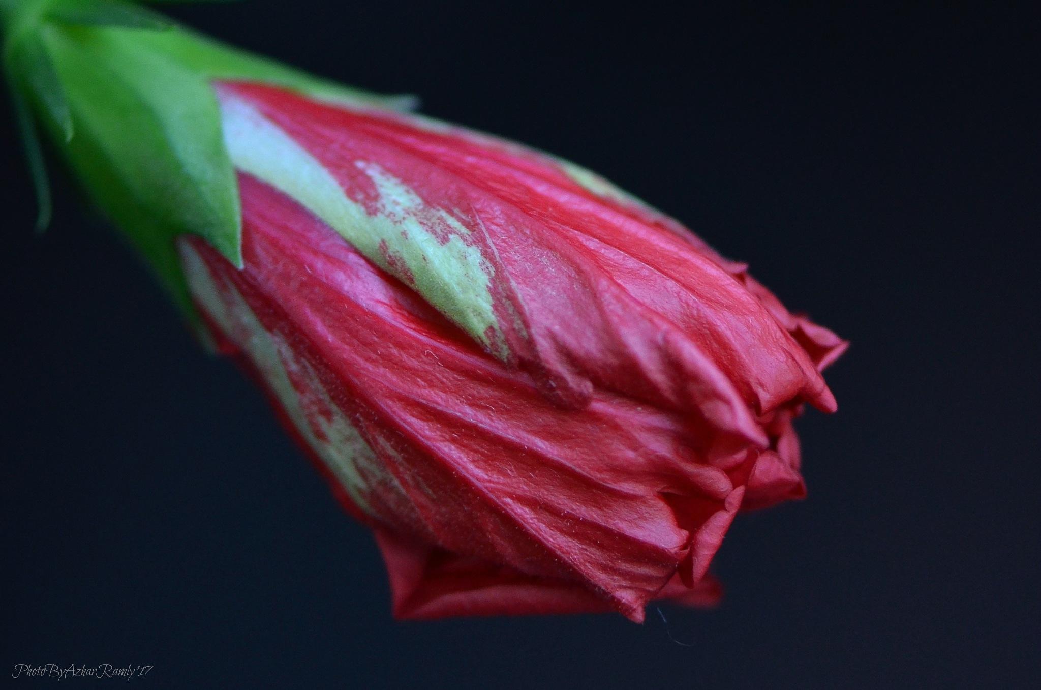 Hibiscus by azharramly