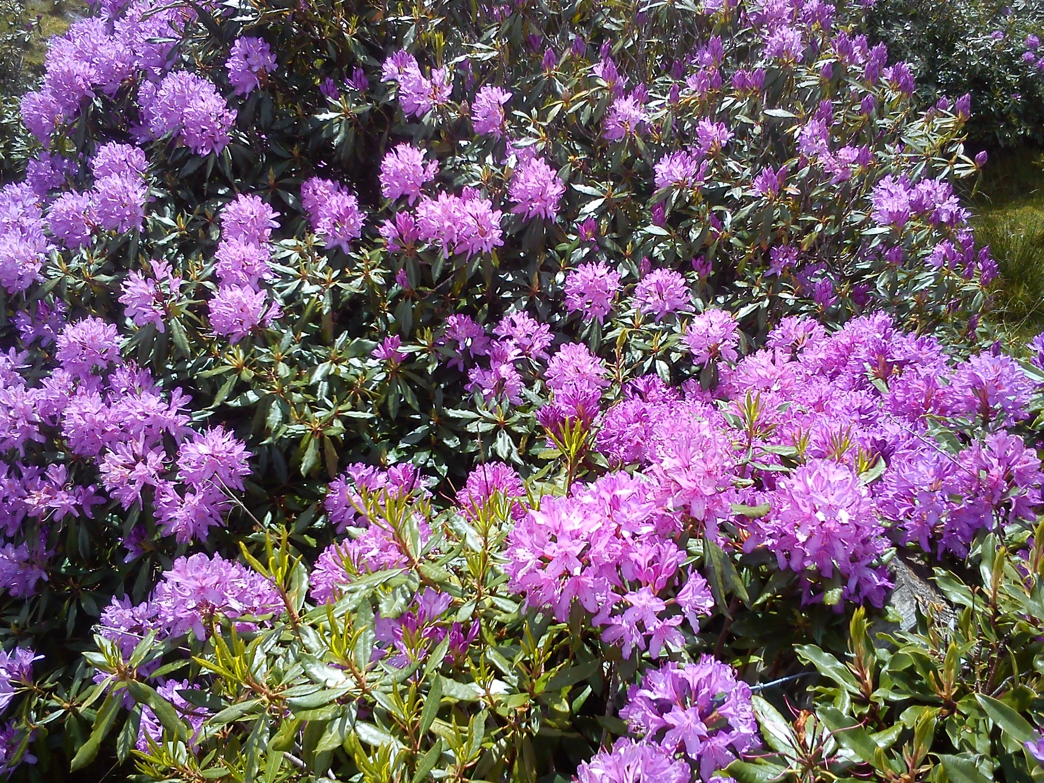 Rhododendron in bloom, Connemara, Ireland by Gunnerman85