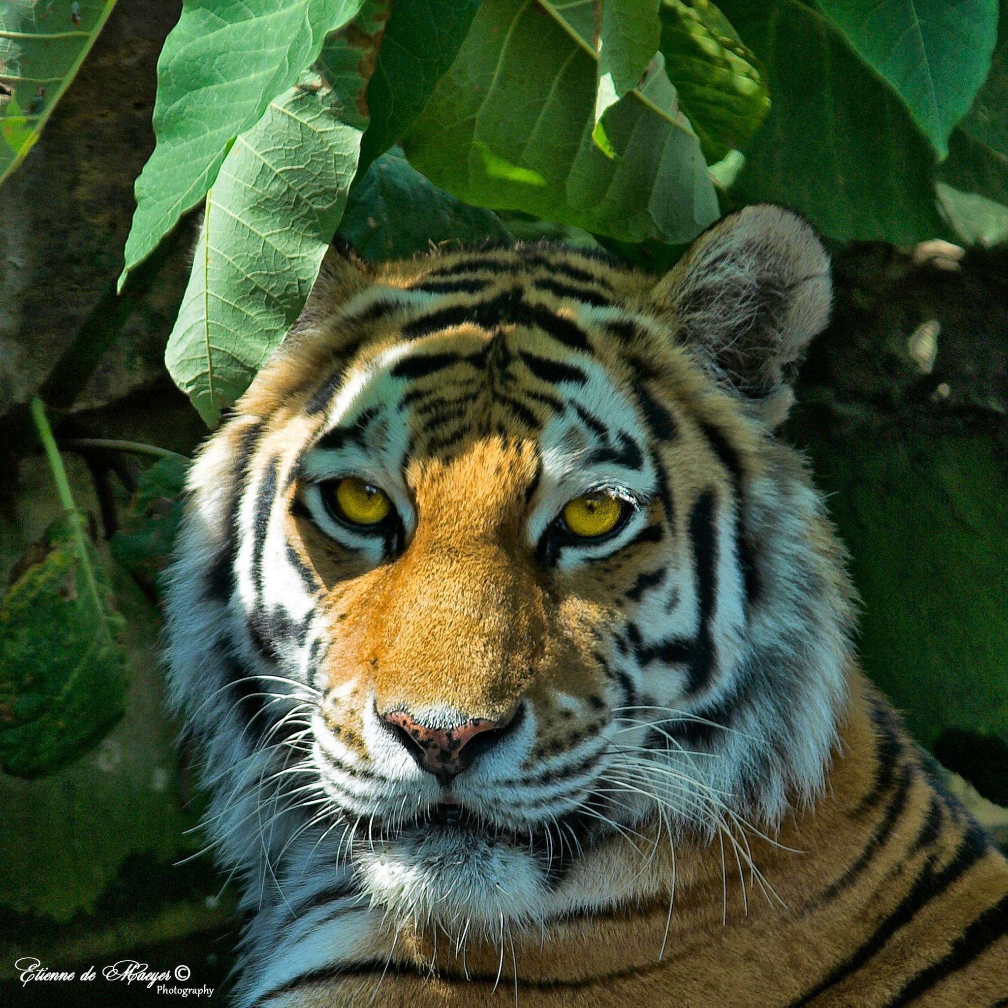 Tiger by Etienne de Maeyer