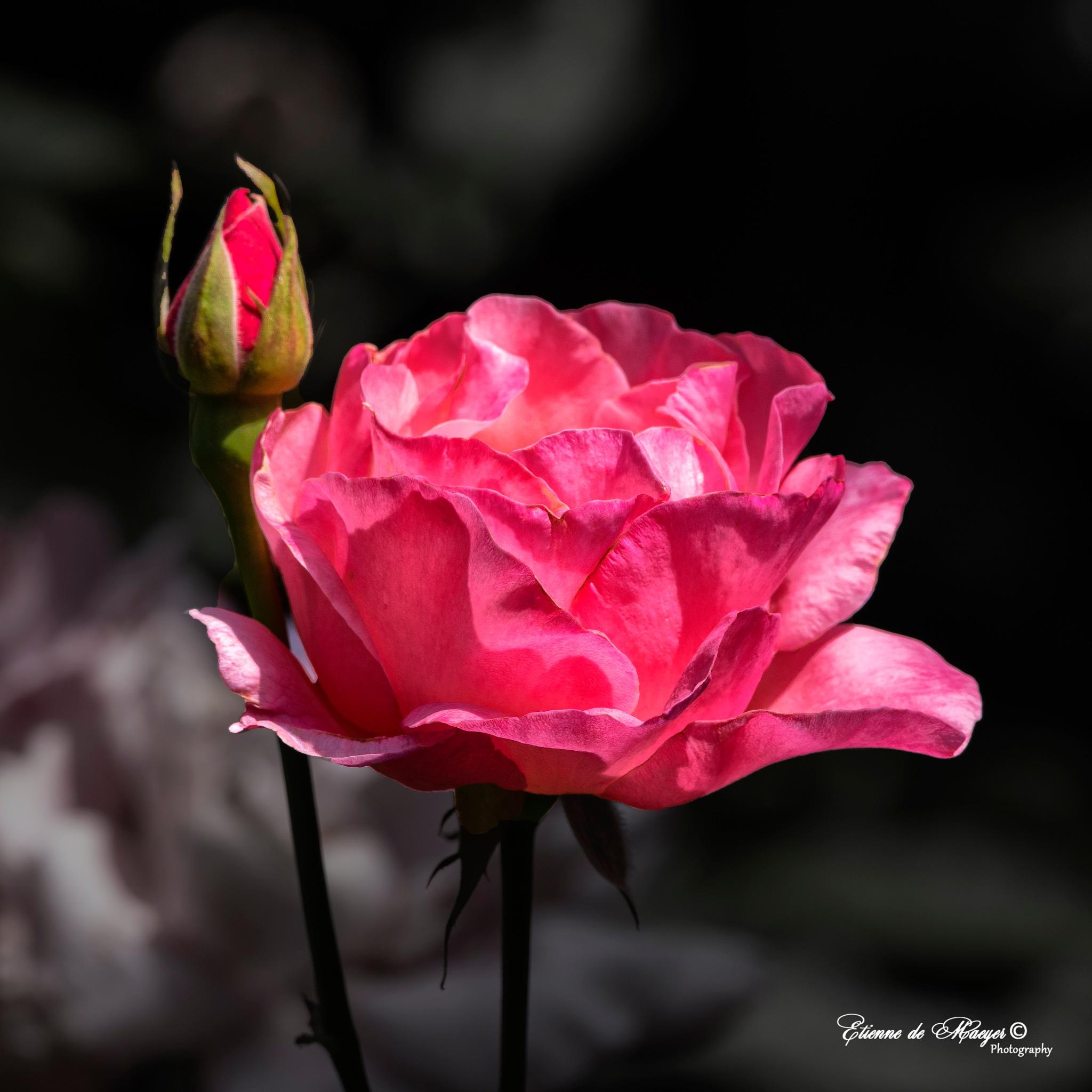 Rose by Etienne de Maeyer