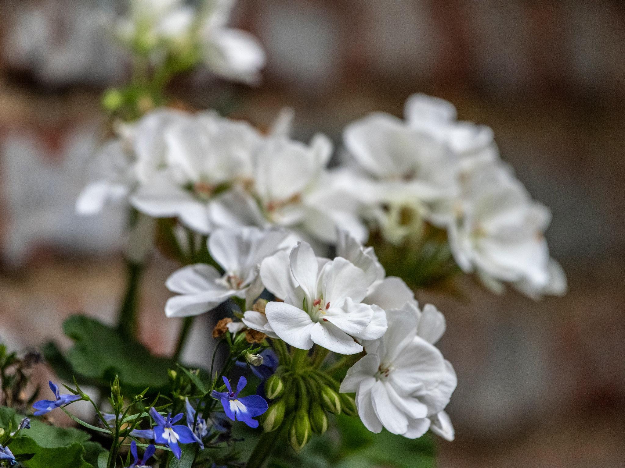 Flowers by Etienne de Maeyer