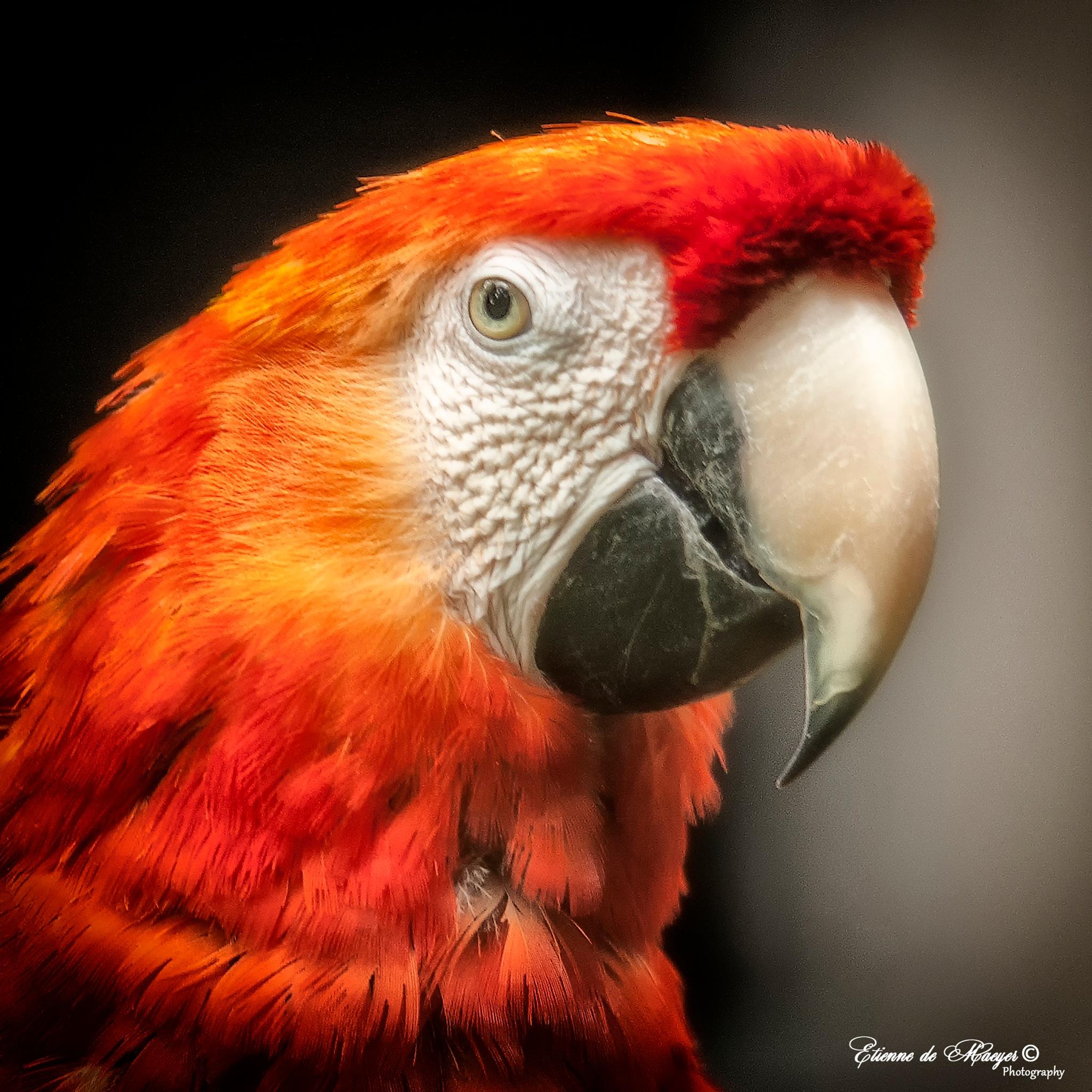 Macaw by Etienne de Maeyer