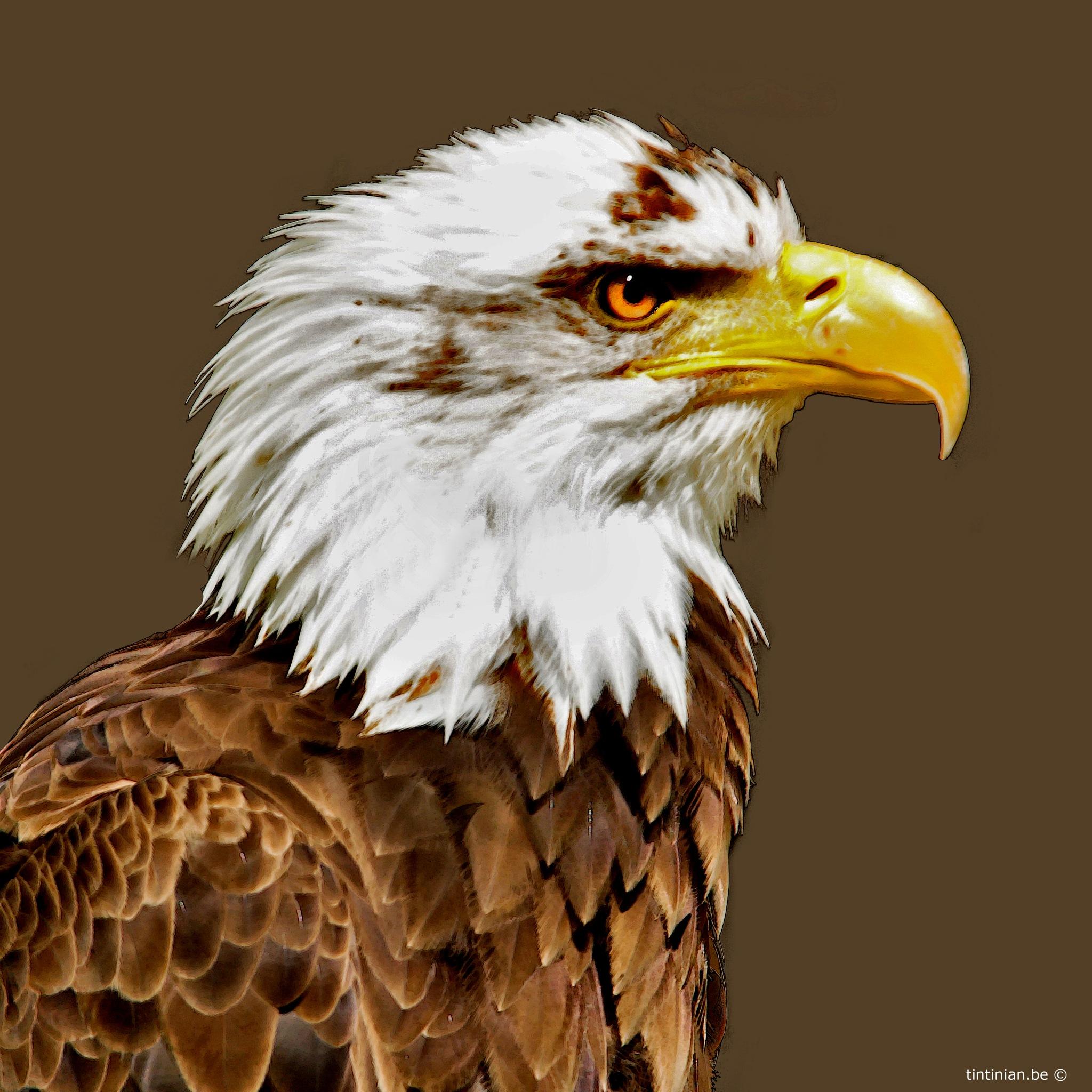 eagle by Etienne de Maeyer
