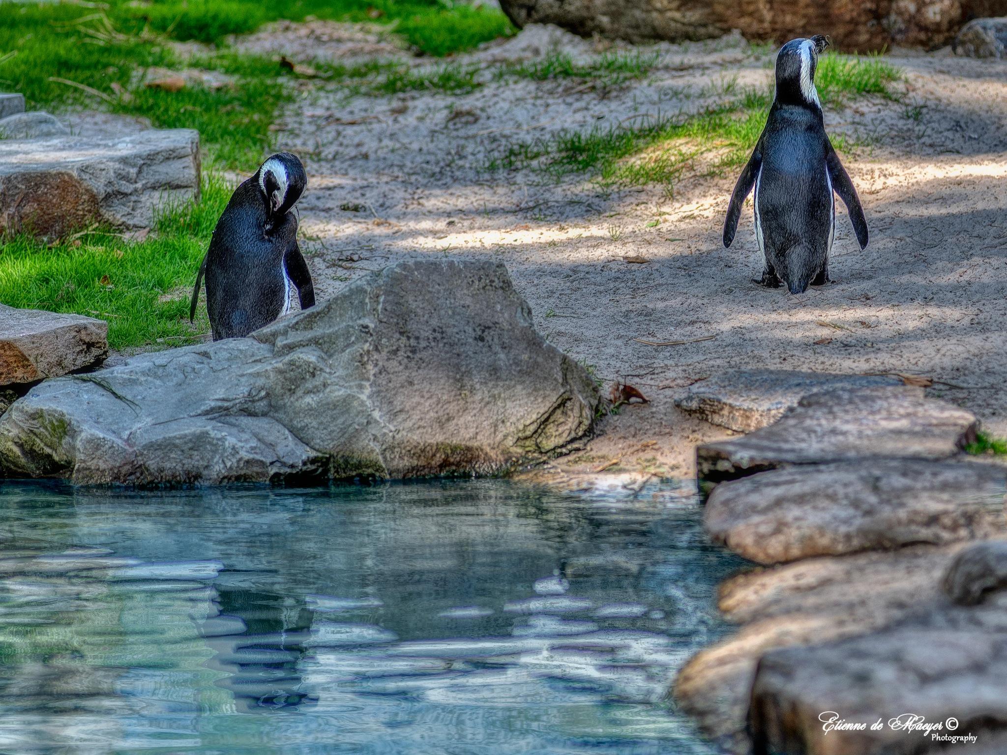 Pinguins by Etienne de Maeyer