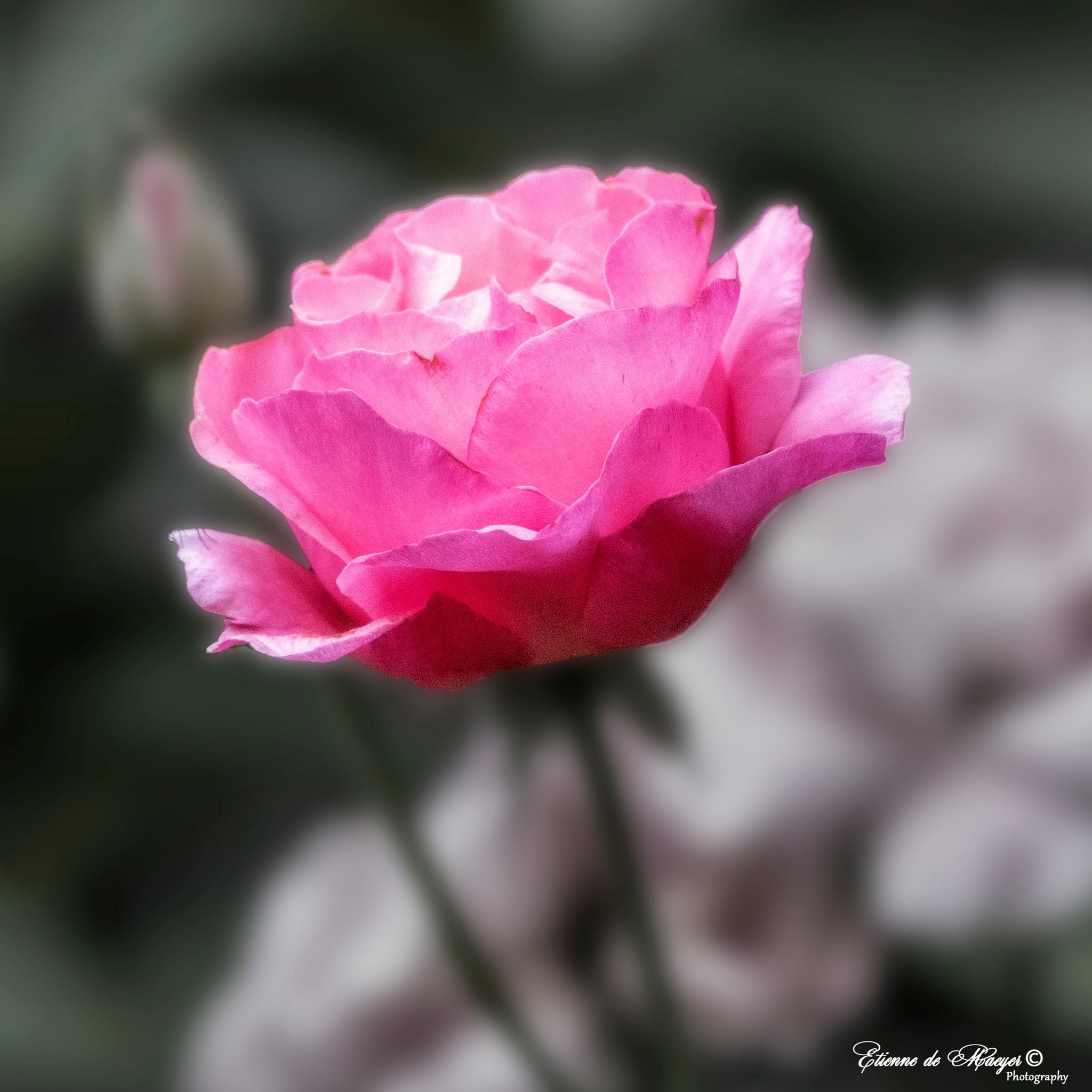 Pink Rose by Etienne de Maeyer