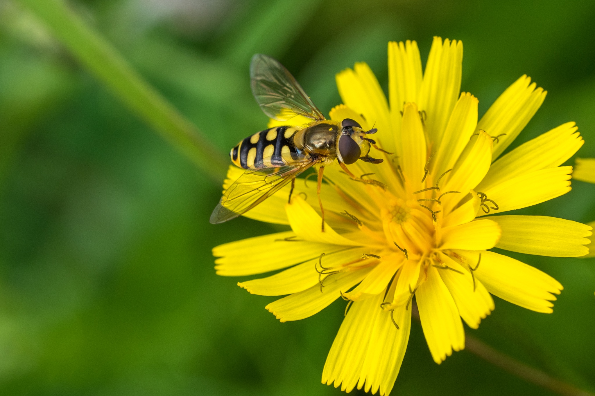 hoverfly by Werner Hofmann