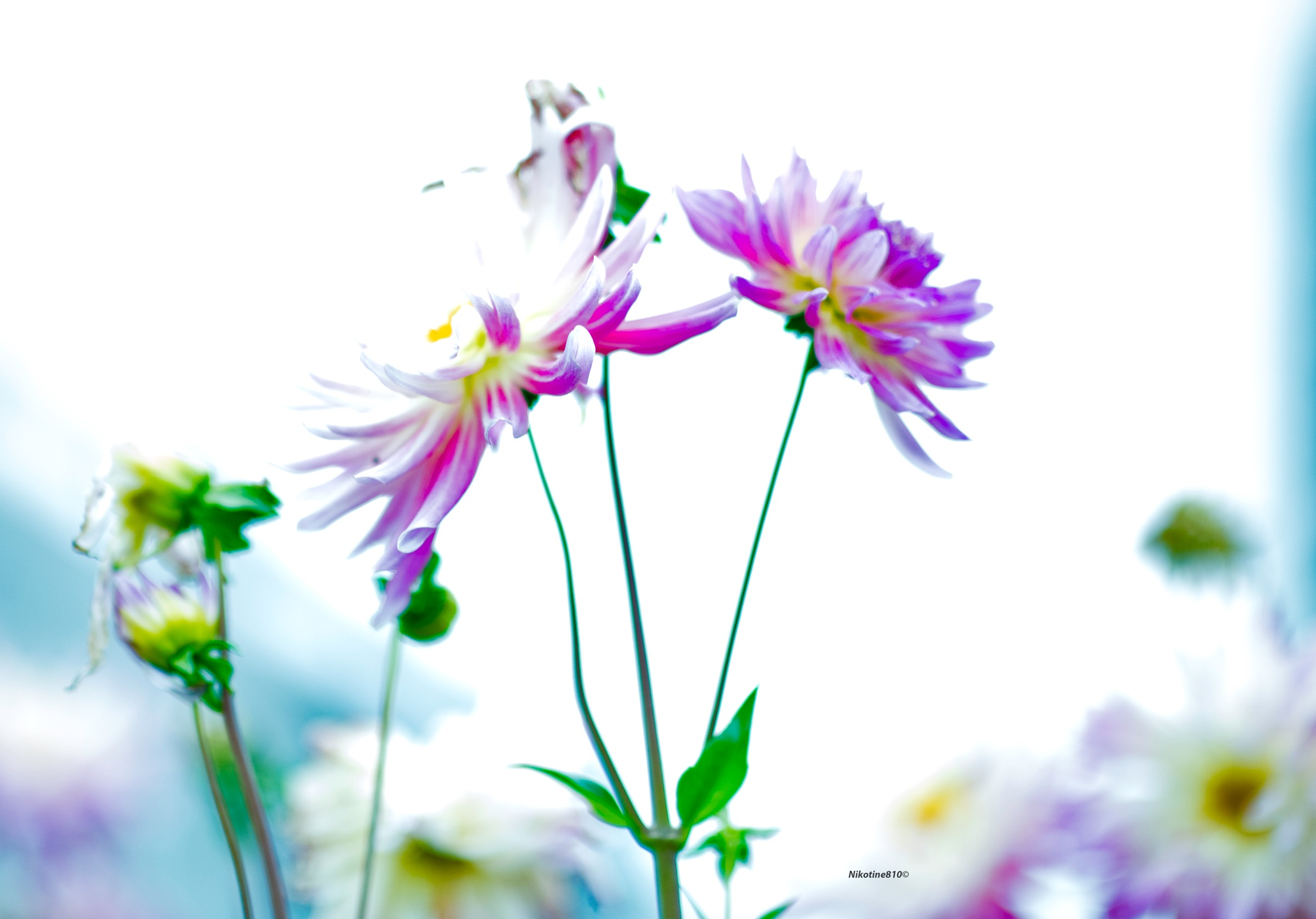 Photo in Nature #flowers #dahlias #pink #yellow #white
