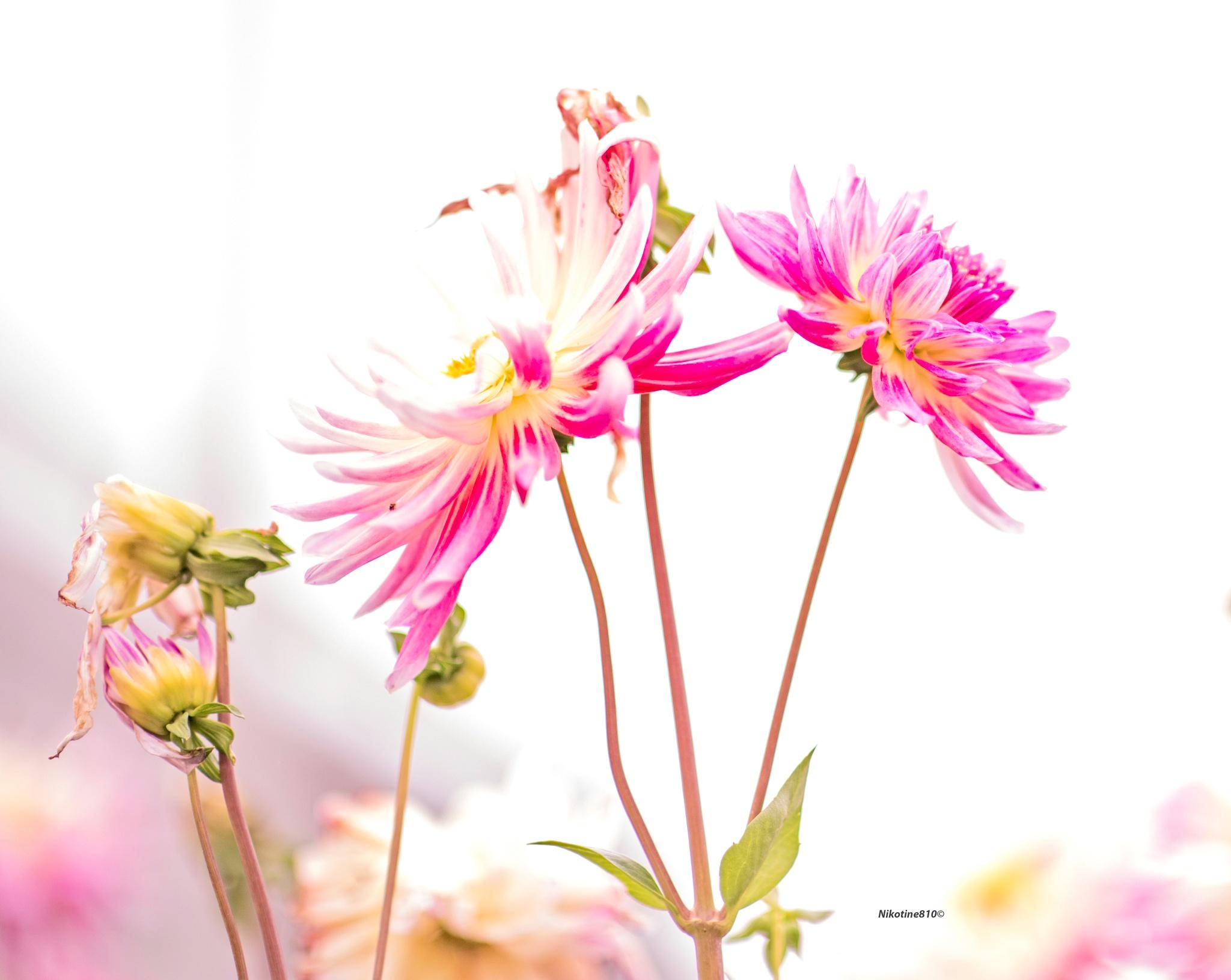 Delicate dahlias by Martine GLASMACHER
