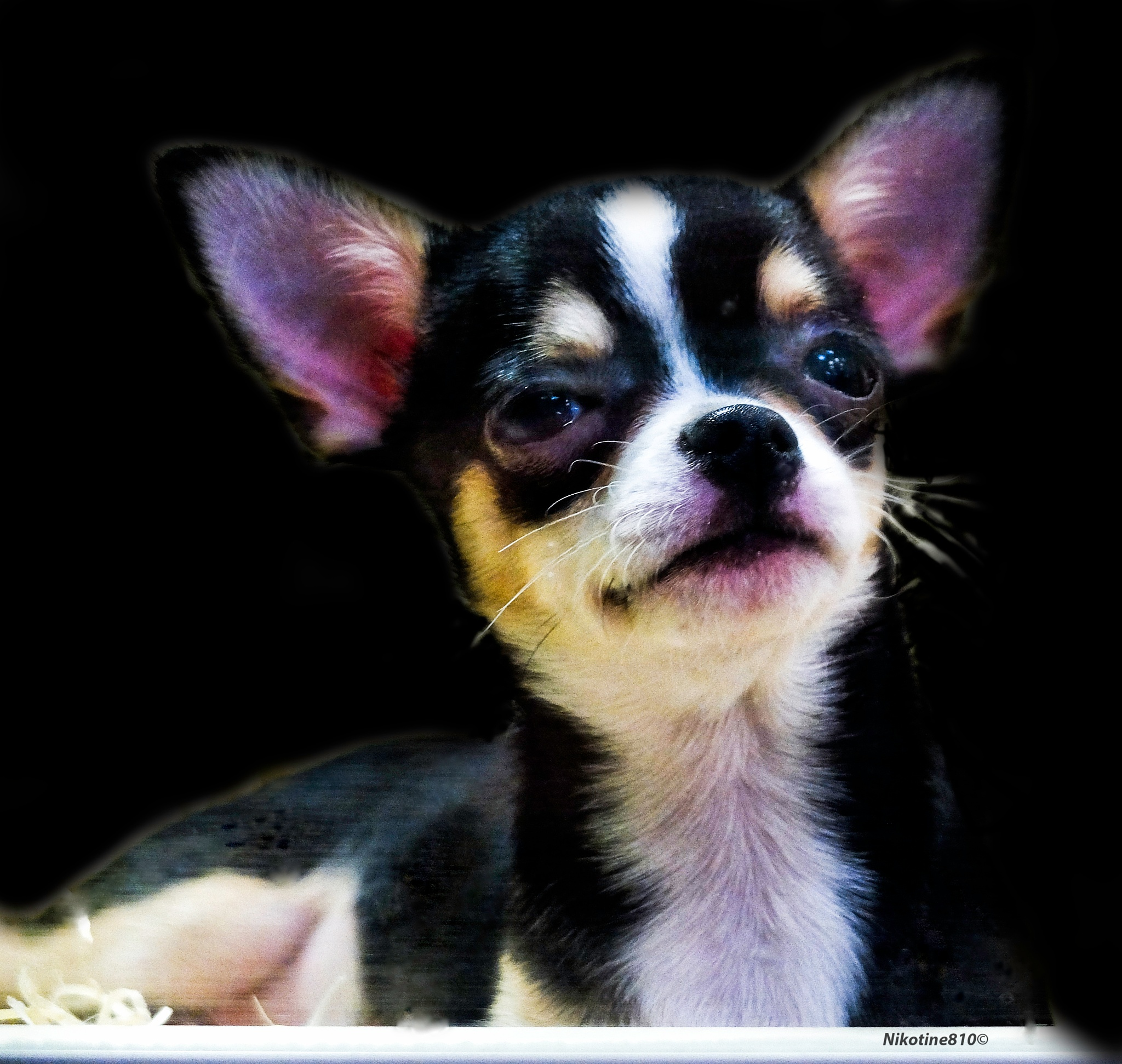 Photo in Animal #doggy #chihuahua #eyes #animal #petland #nature