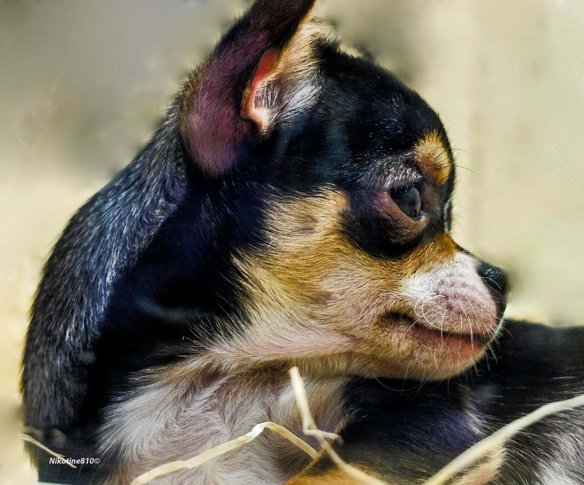 Photo in Animal #chihuahua #doggy #petland