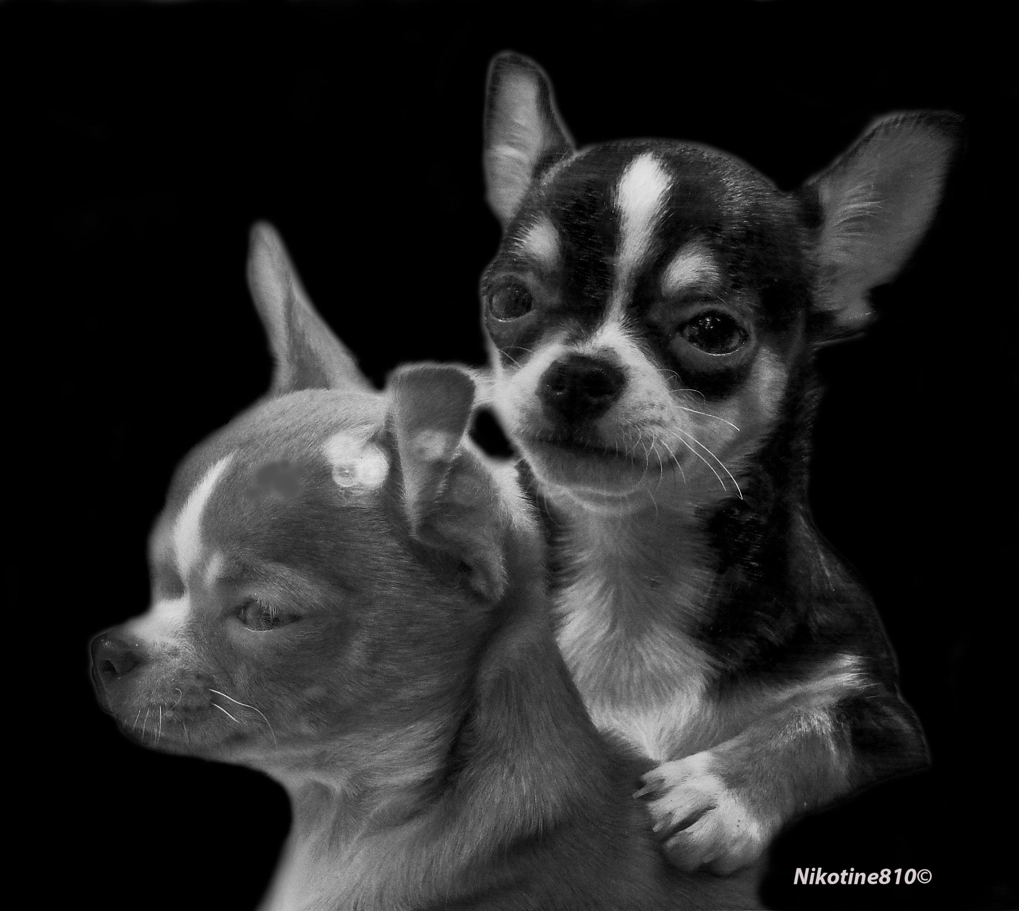 Chihuahuas by Martine GLASMACHER