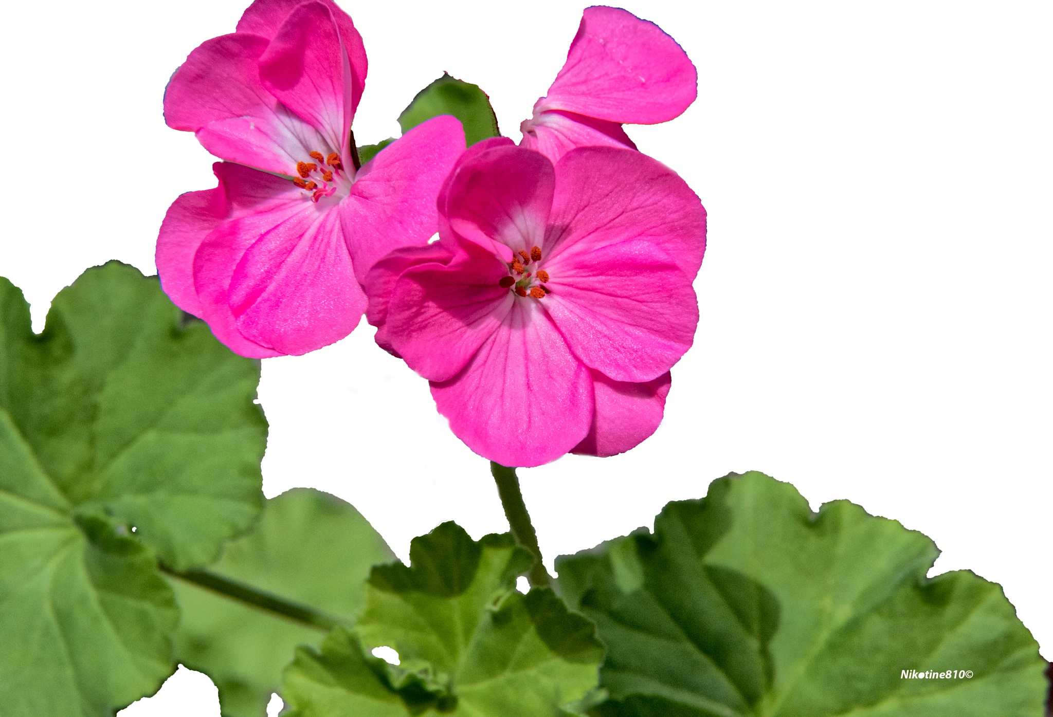 Pink geranium by Martine GLASMACHER
