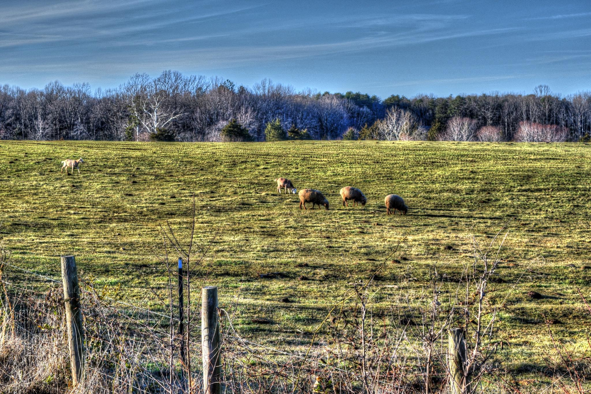 Grazing Sheep by spotsyrick