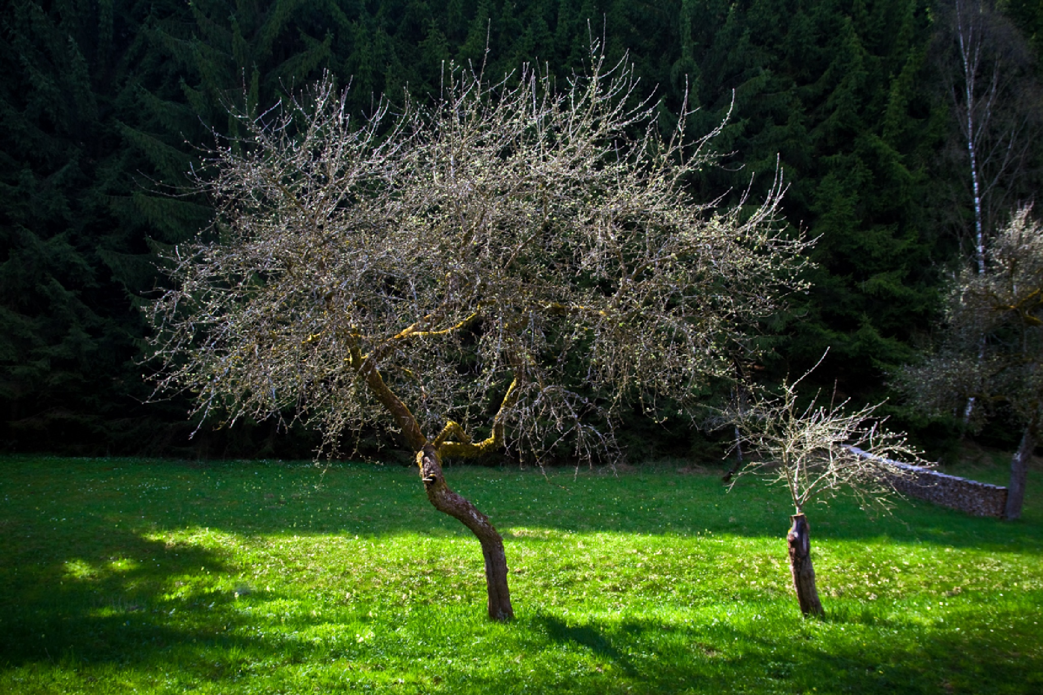 Spring Tree by Walter Quirtmair