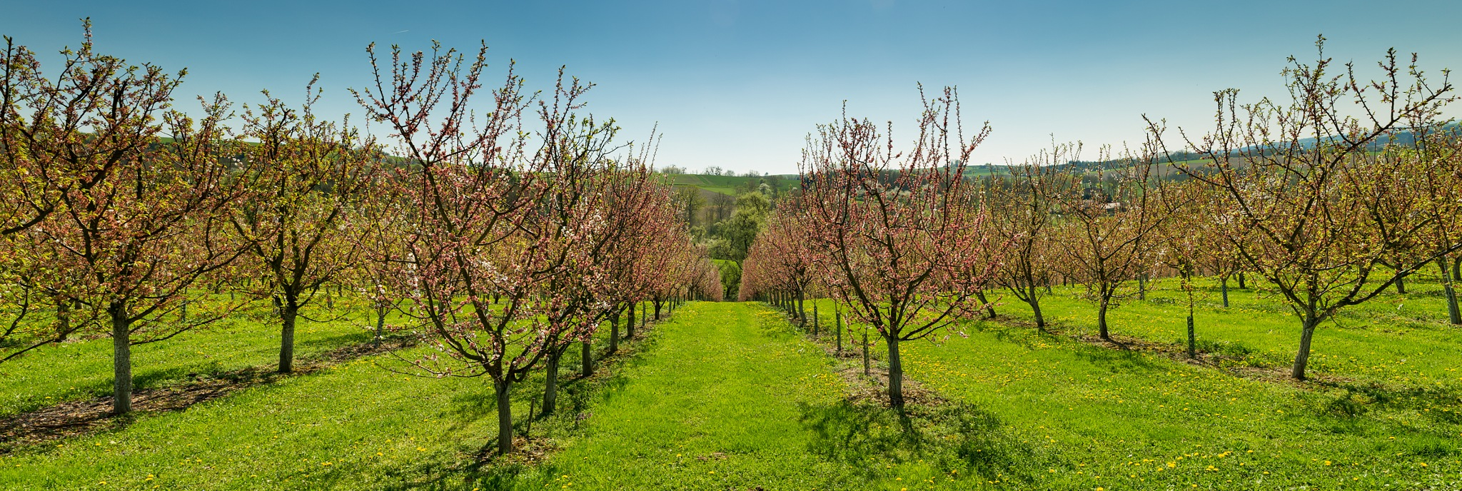 Cherry Trees by Walter Quirtmair