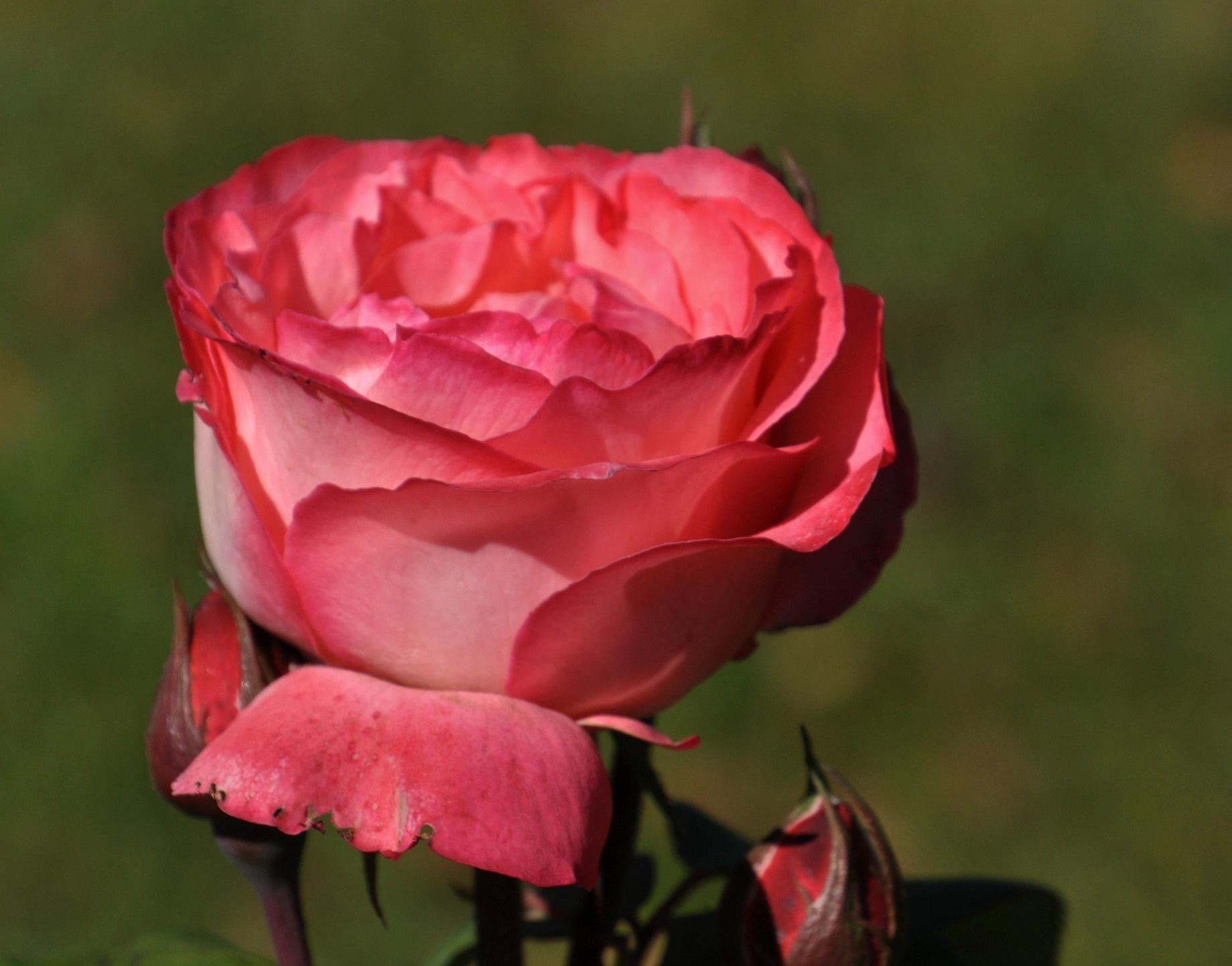 Tea Rose Rosa Granda  by Debbie Johnson MacArthur