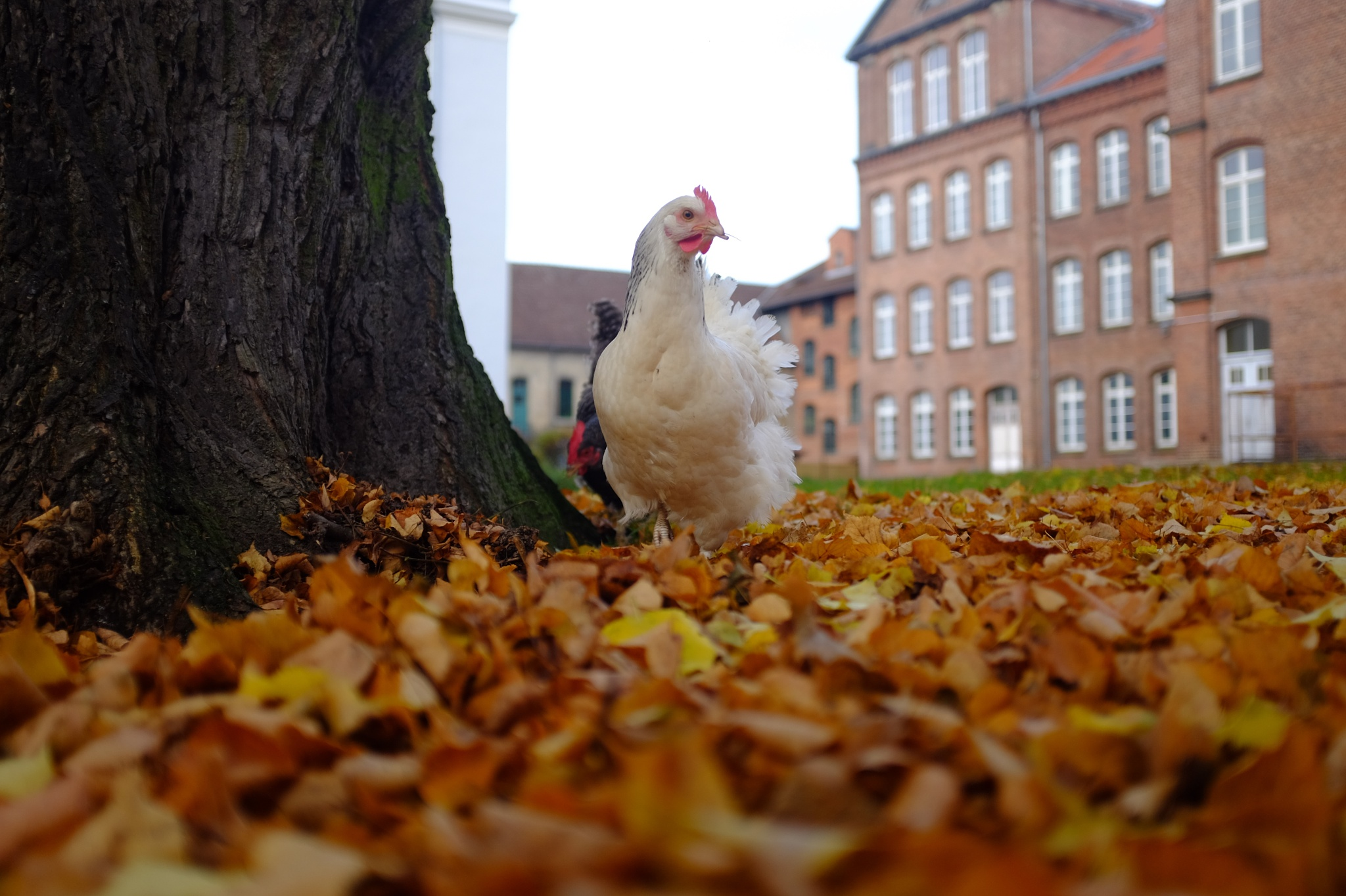 Das Huhn vor der Schule by peterkryzun
