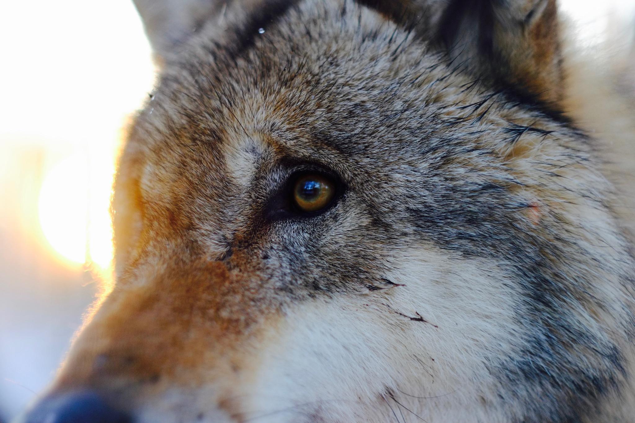 Das Auge des Wolfes by peterkryzun