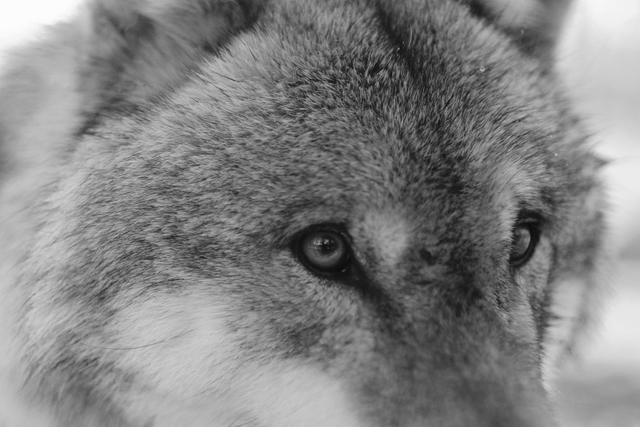 Wolfsaugen by peterkryzun