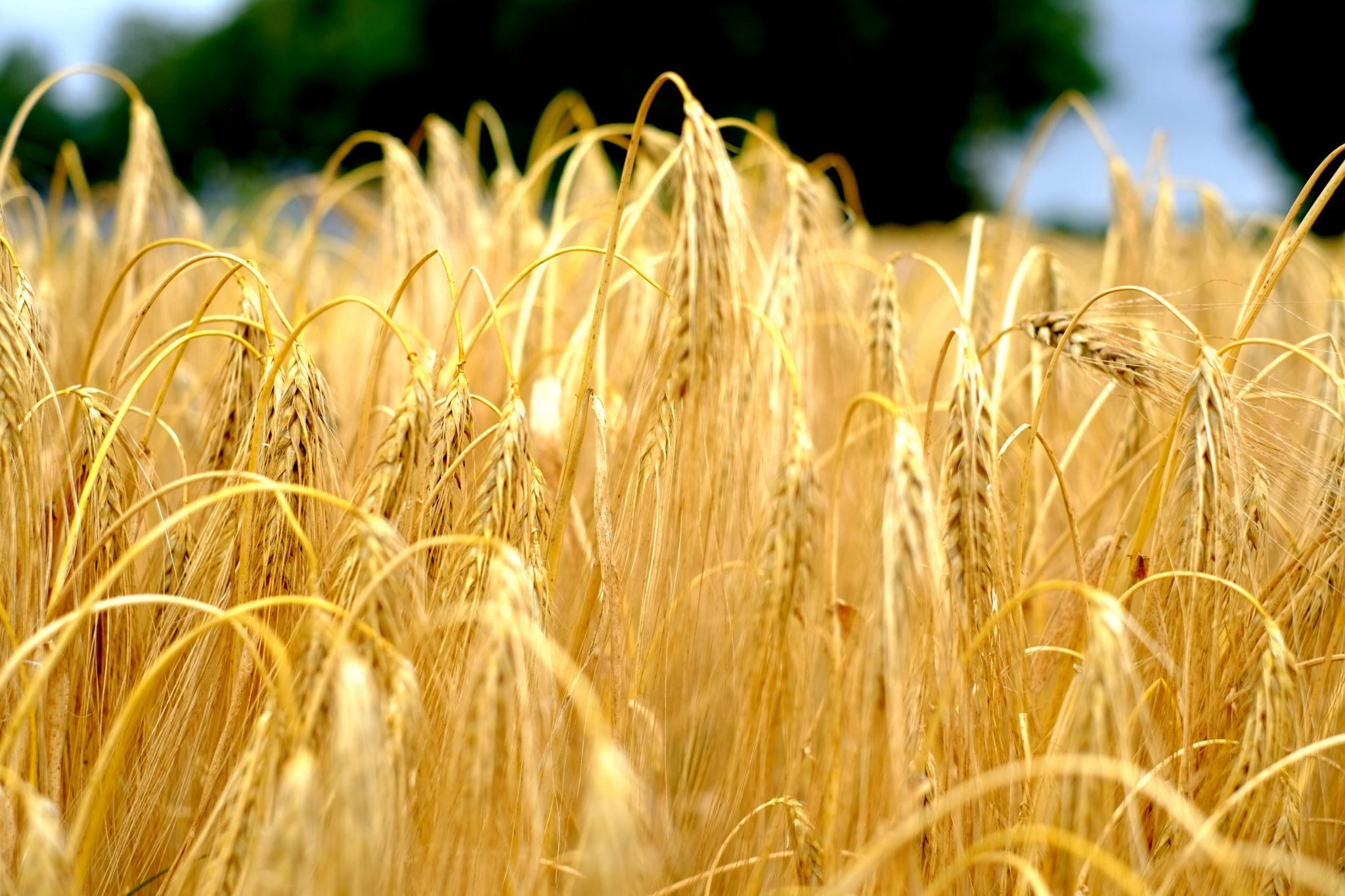 Grain by peterkryzun