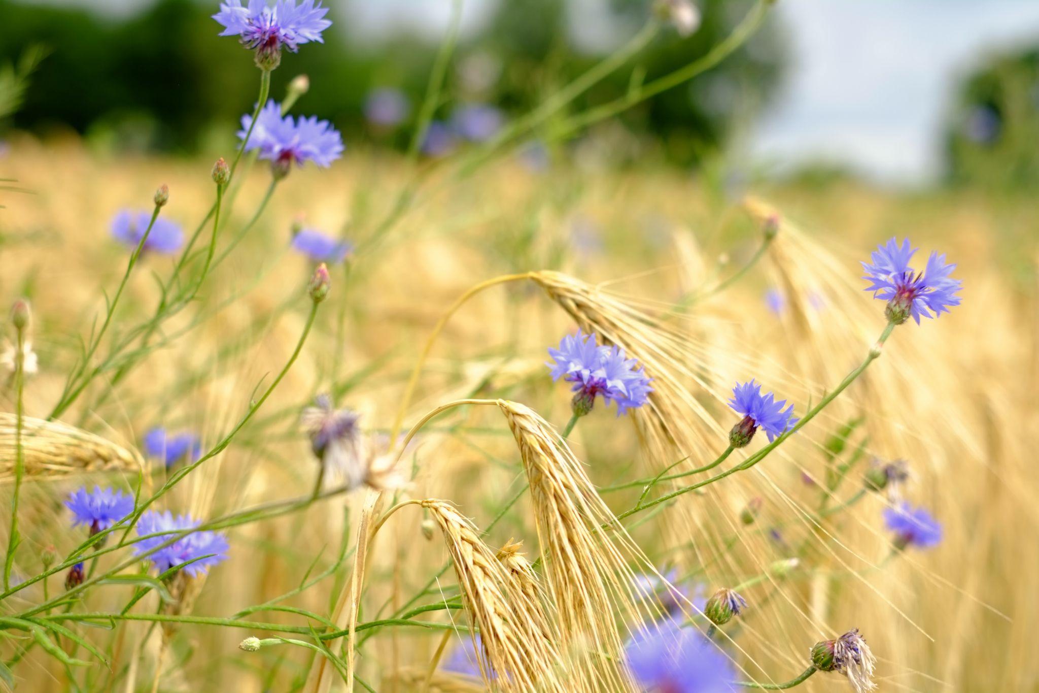 Grain & Flowers by peterkryzun
