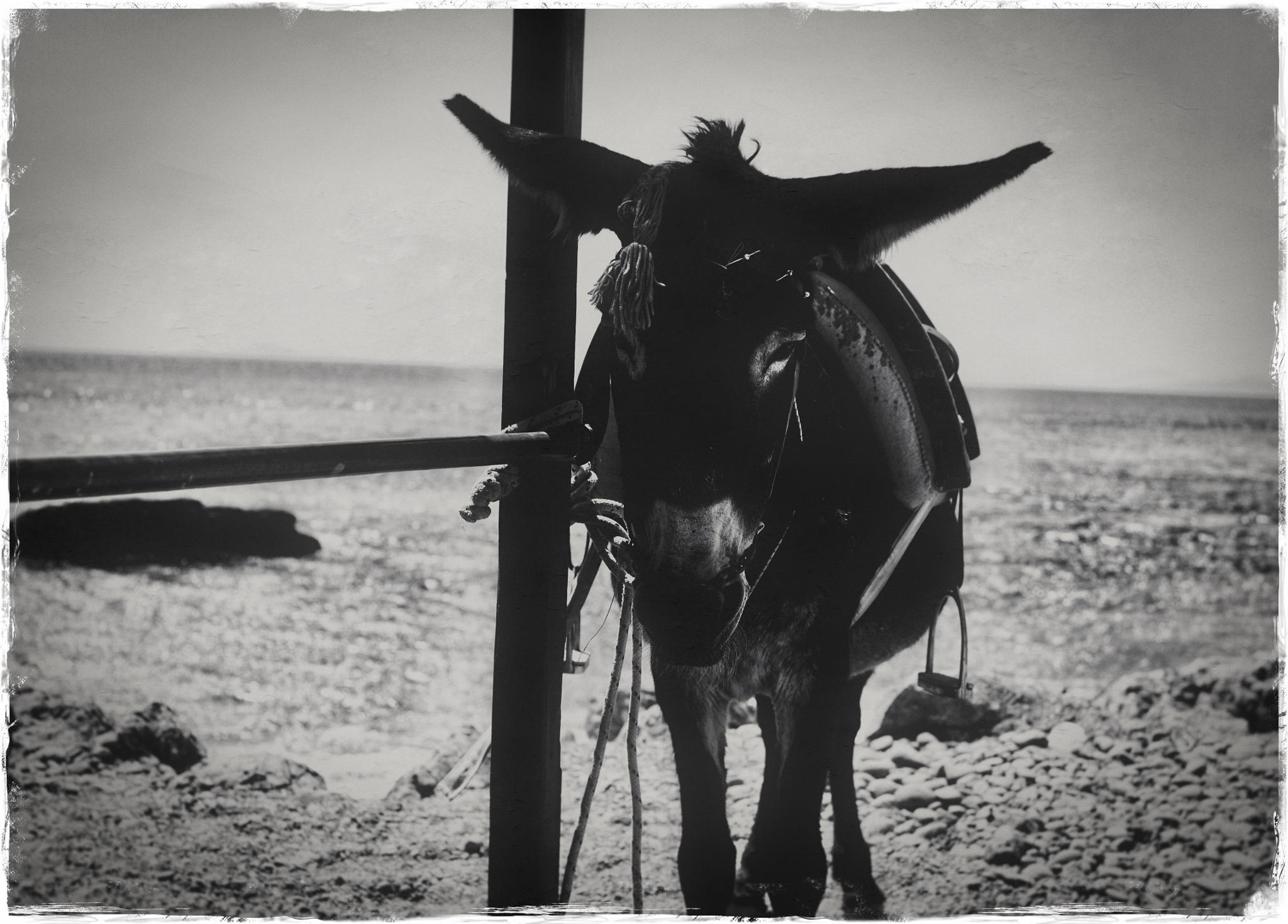 Donkey by peterkryzun
