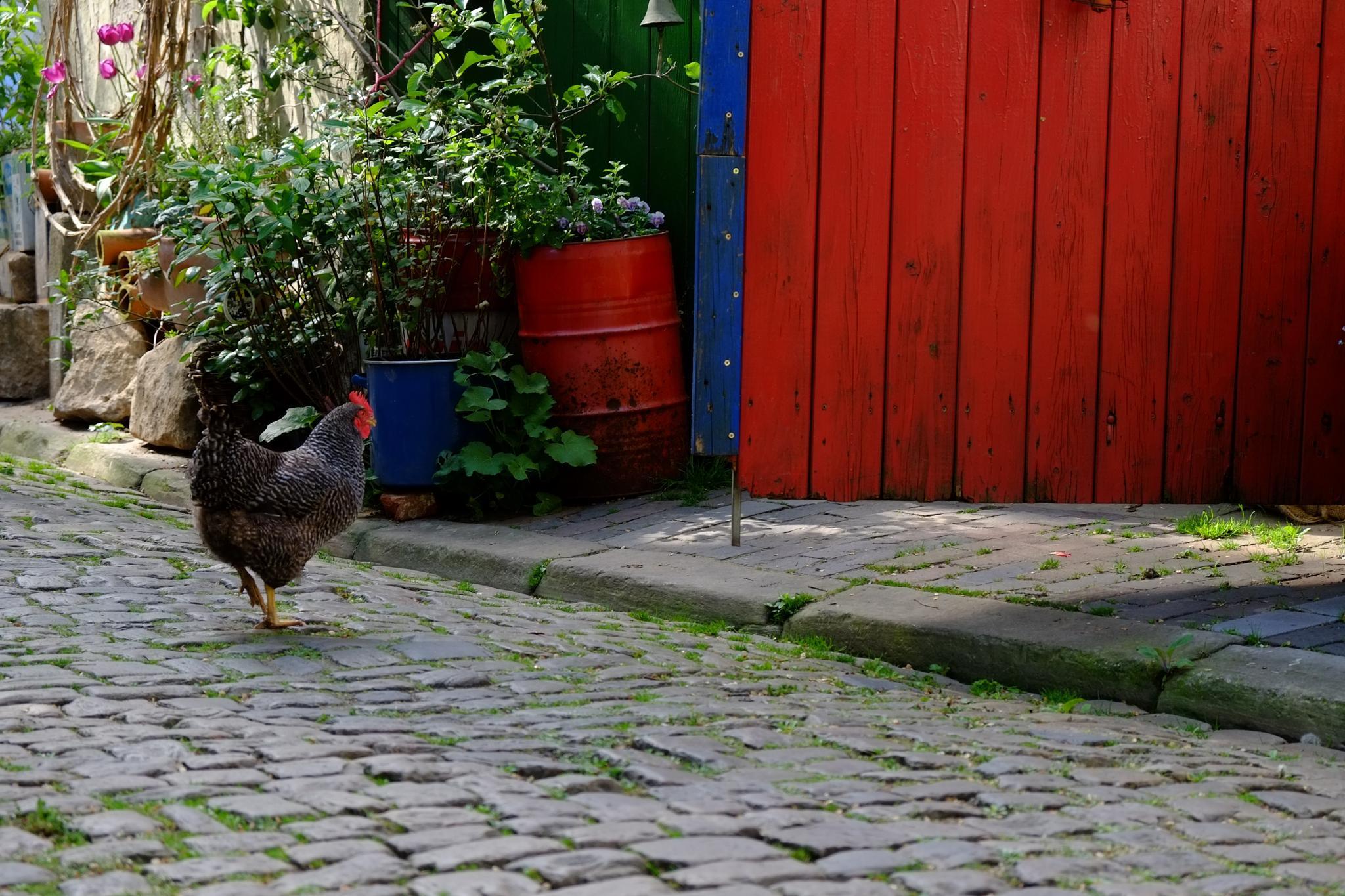 Chicken Home by peterkryzun