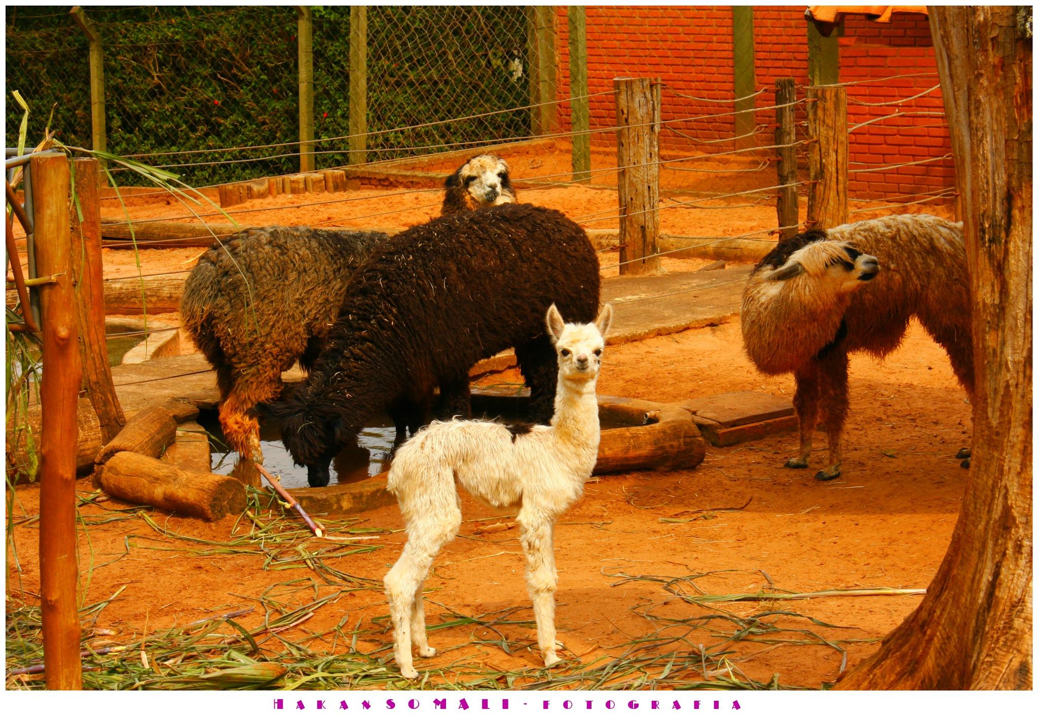 Lhamas no Zoo by Hakan Somali