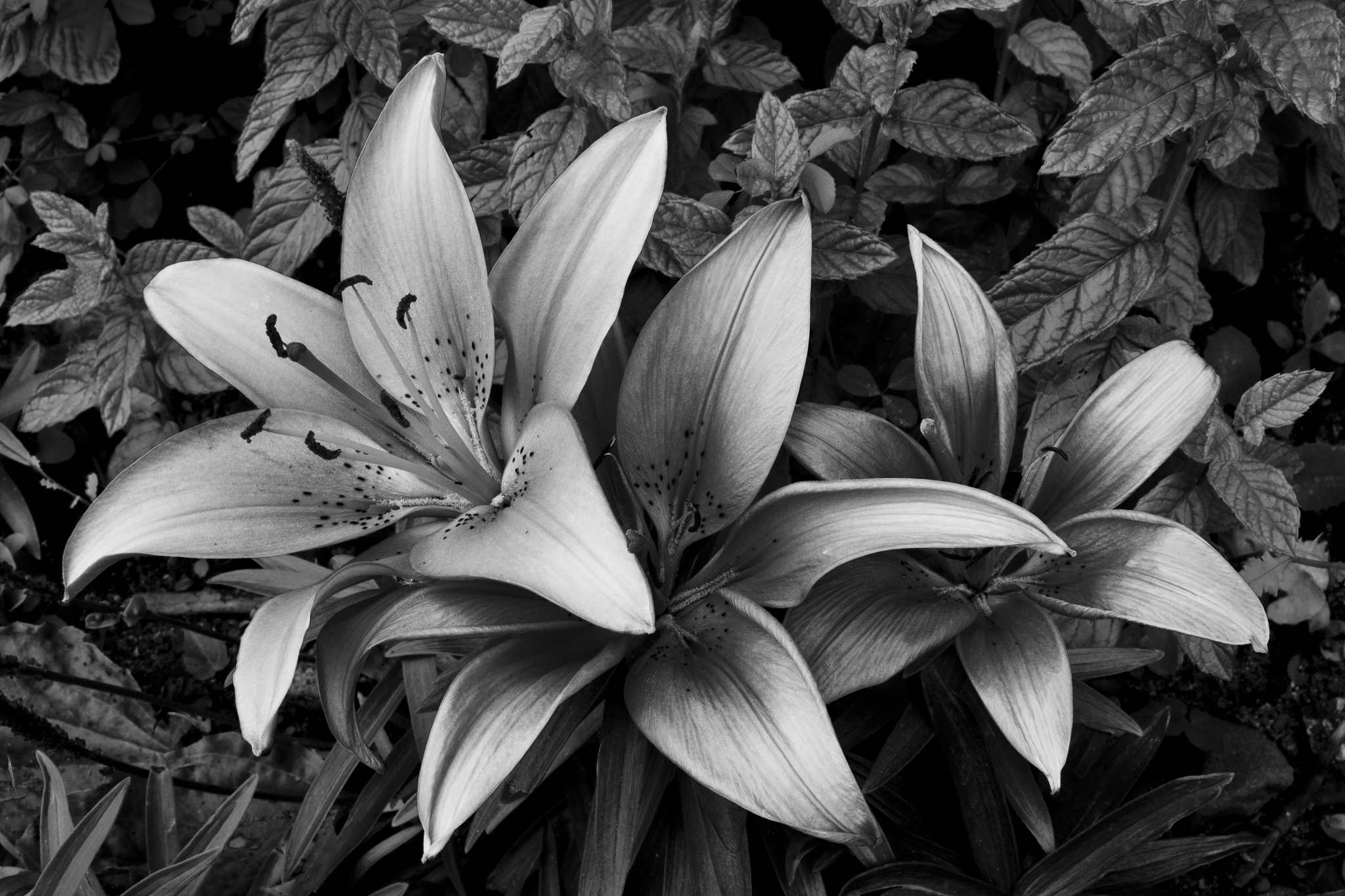 Tiger Lily Trio by JamesJewers
