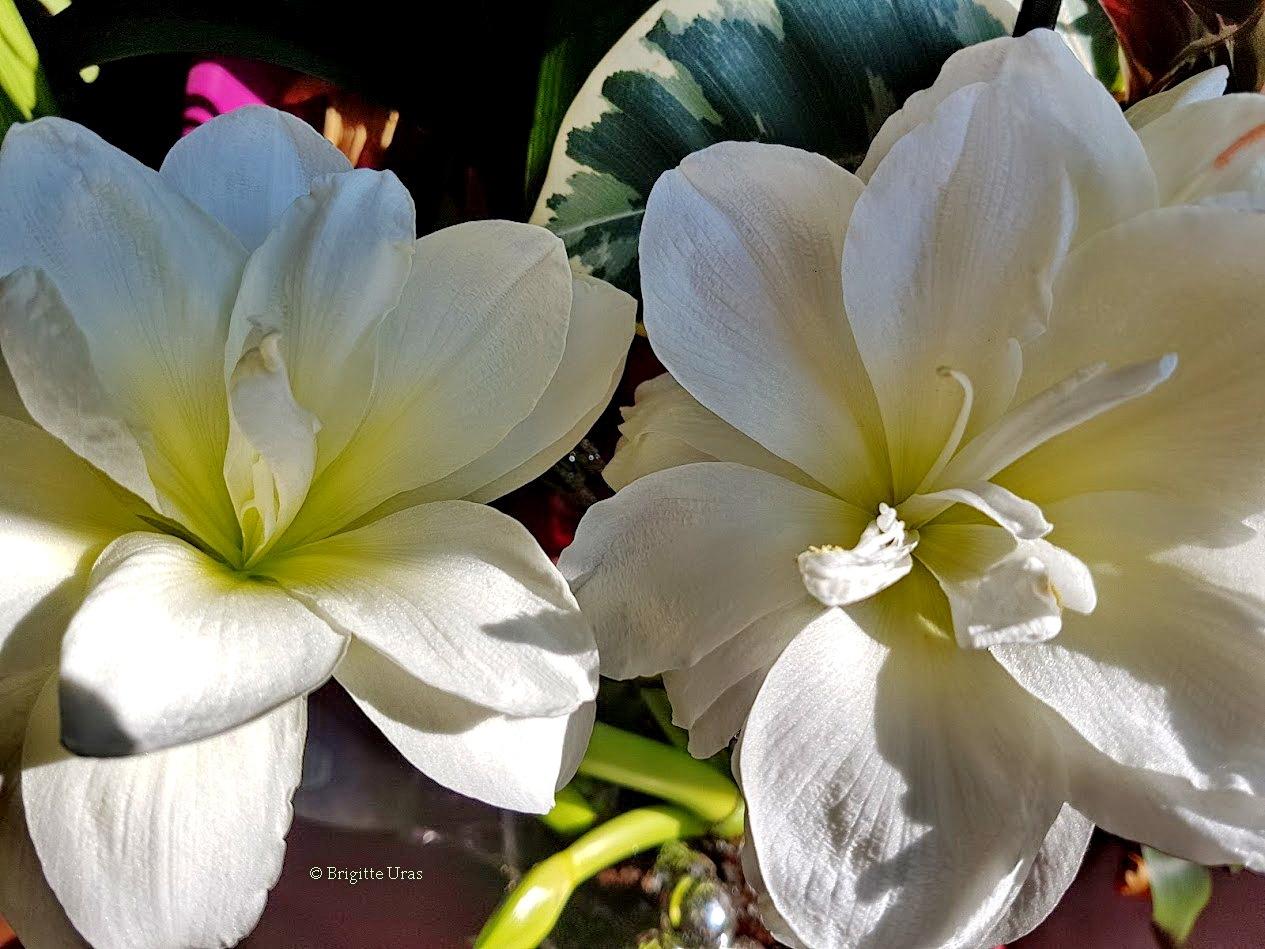 Les amaryllis by Brigitte Uras