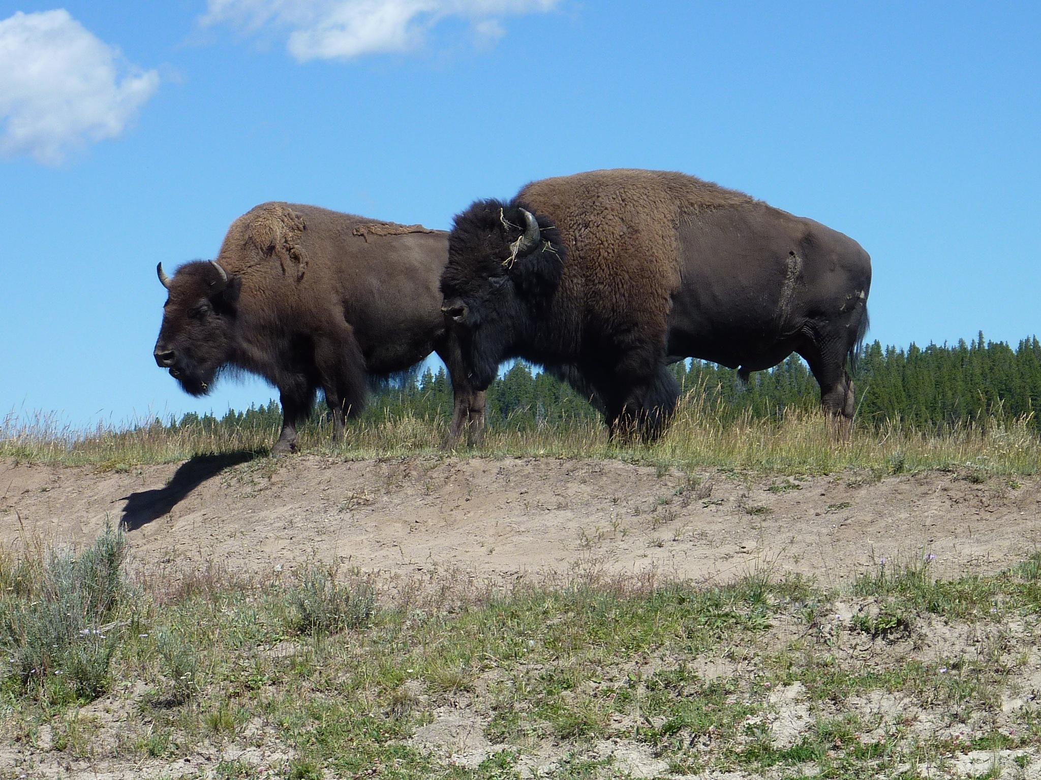 Bison in Yellowstone by stargazingadventures