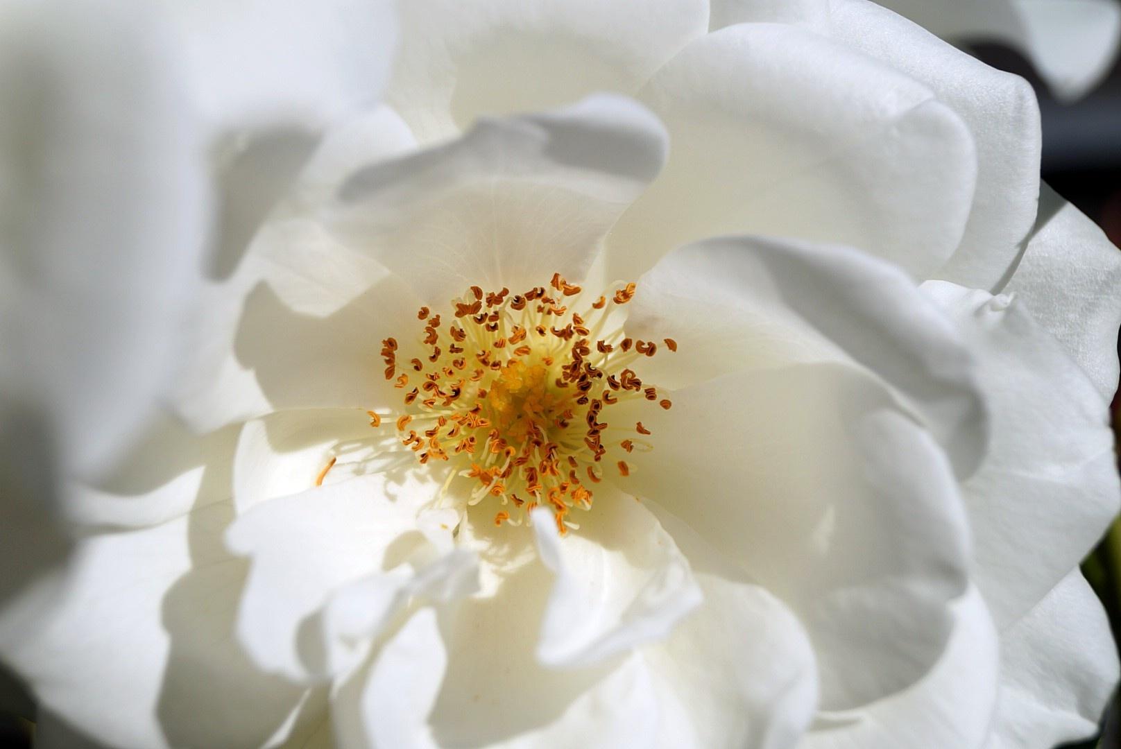 Rose by Kurt Hoffmann