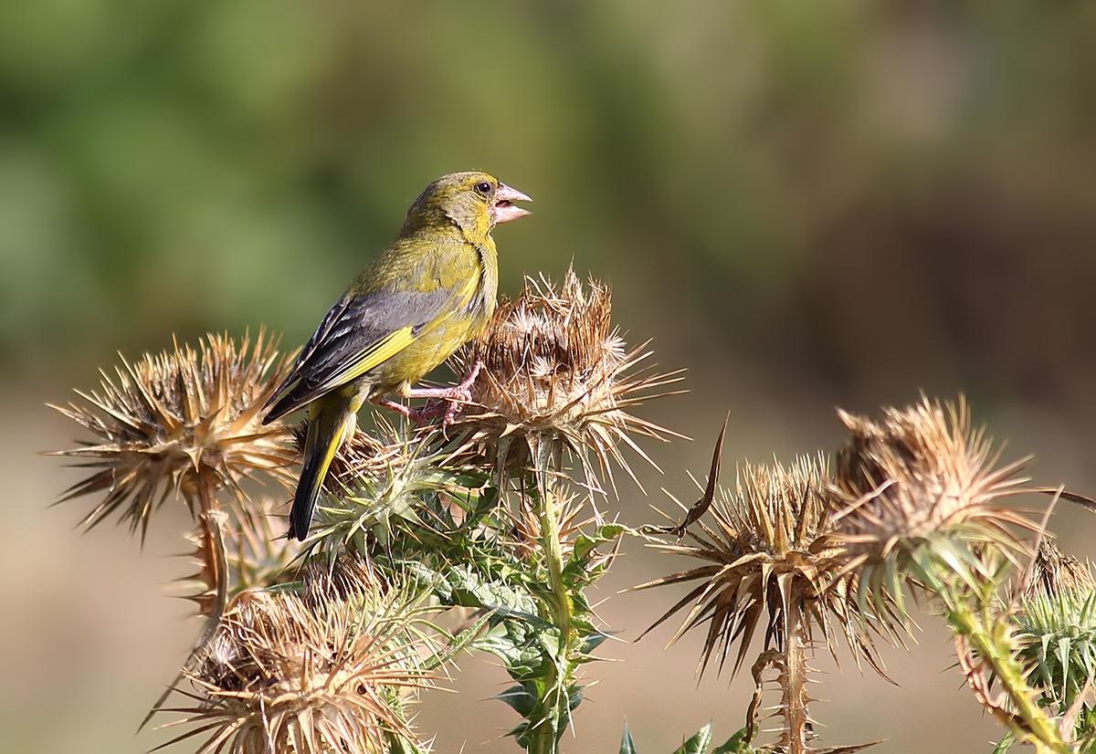 Florya - European Greenfinch - Chloris chloris by Bahattin Izci
